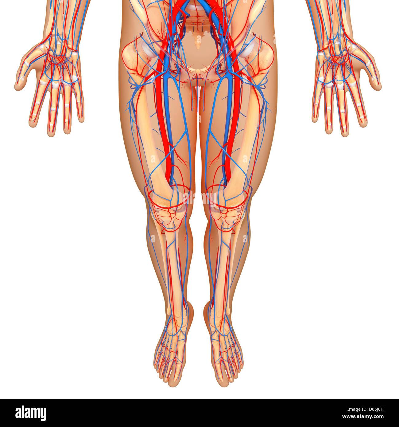 Unteren Körper Anatomie, artwork Stockfoto, Bild: 55442929 - Alamy