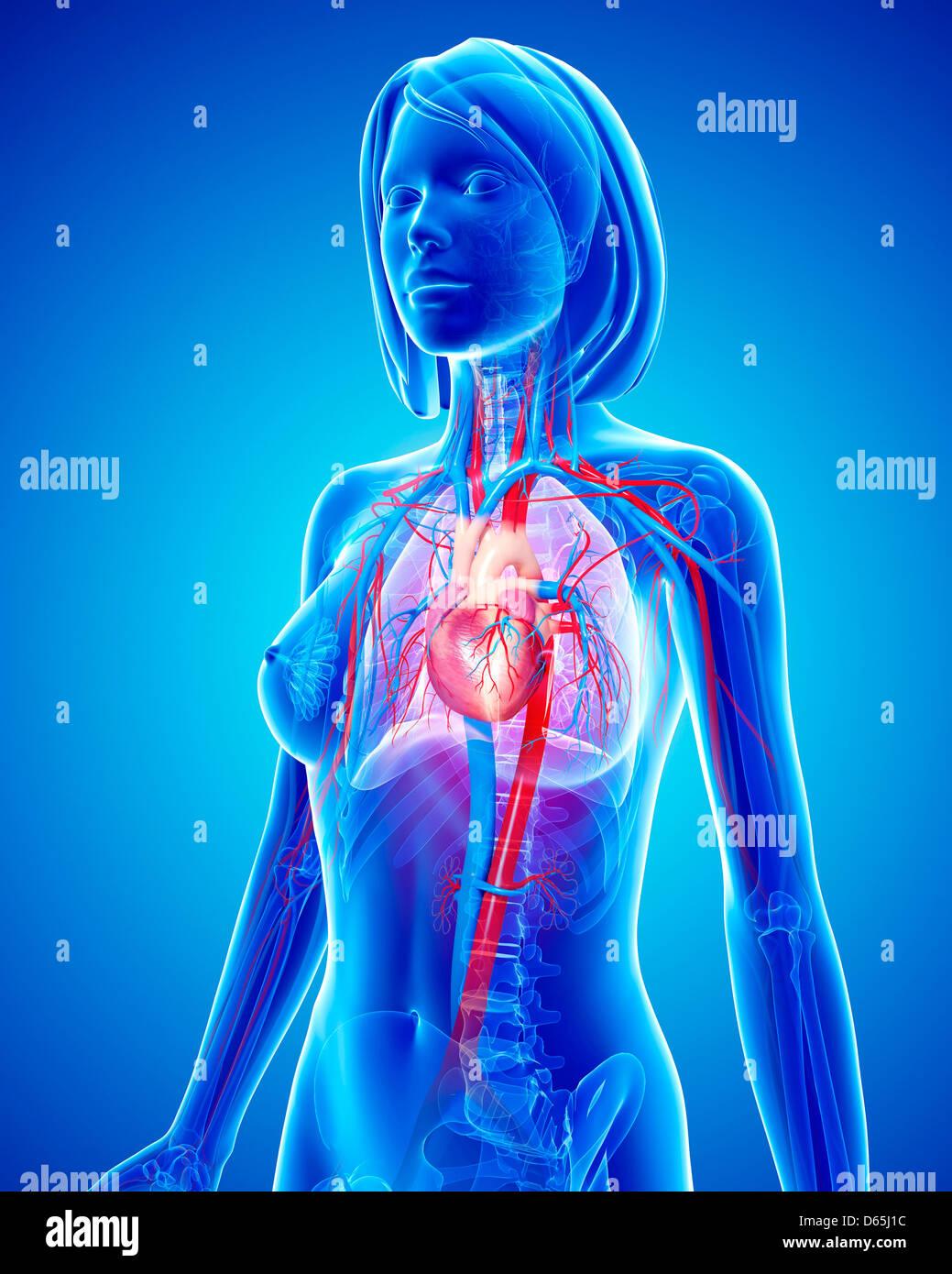 Circulatory System Lungs Stockfotos & Circulatory System Lungs ...