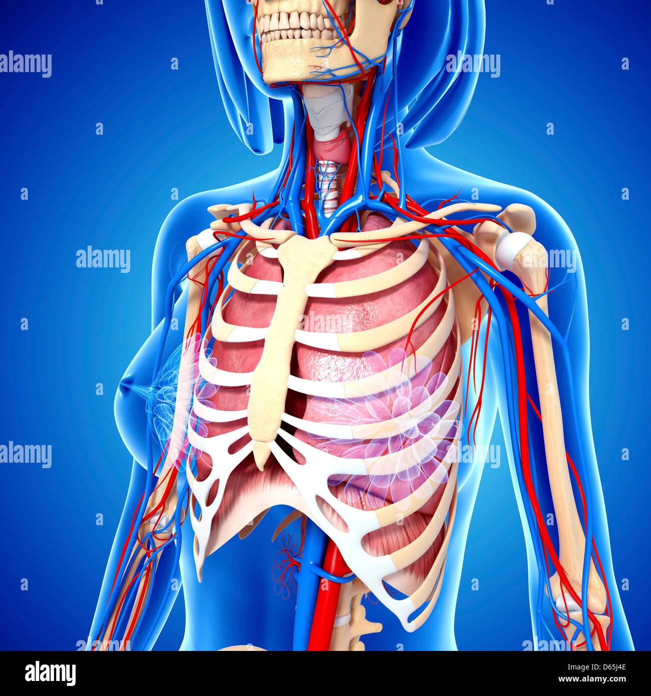 Großzügig Weibliche Anatomie Videos Fotos - Menschliche Anatomie ...