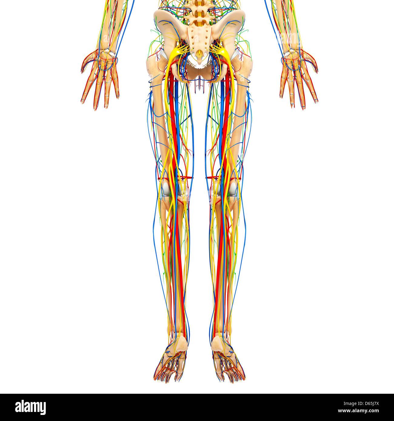 Charmant Bein Anatomie Bilder - Anatomie Von Menschlichen ...