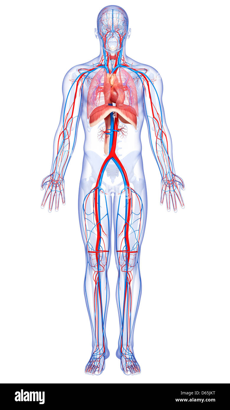 Heart Organ Thorax Stockfotos & Heart Organ Thorax Bilder - Seite 3 ...