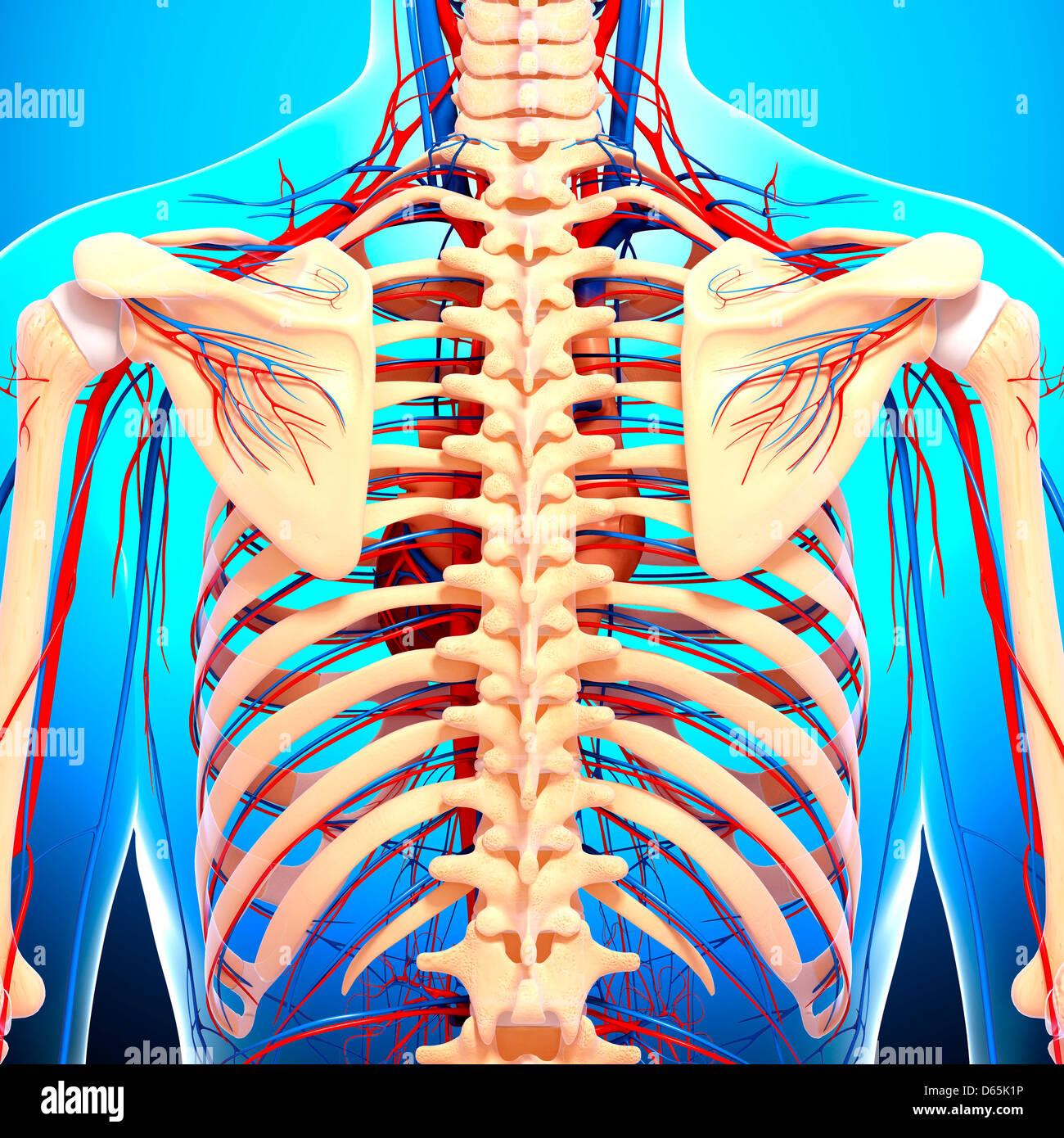 Hinteren Anatomie, artwork Stockbild