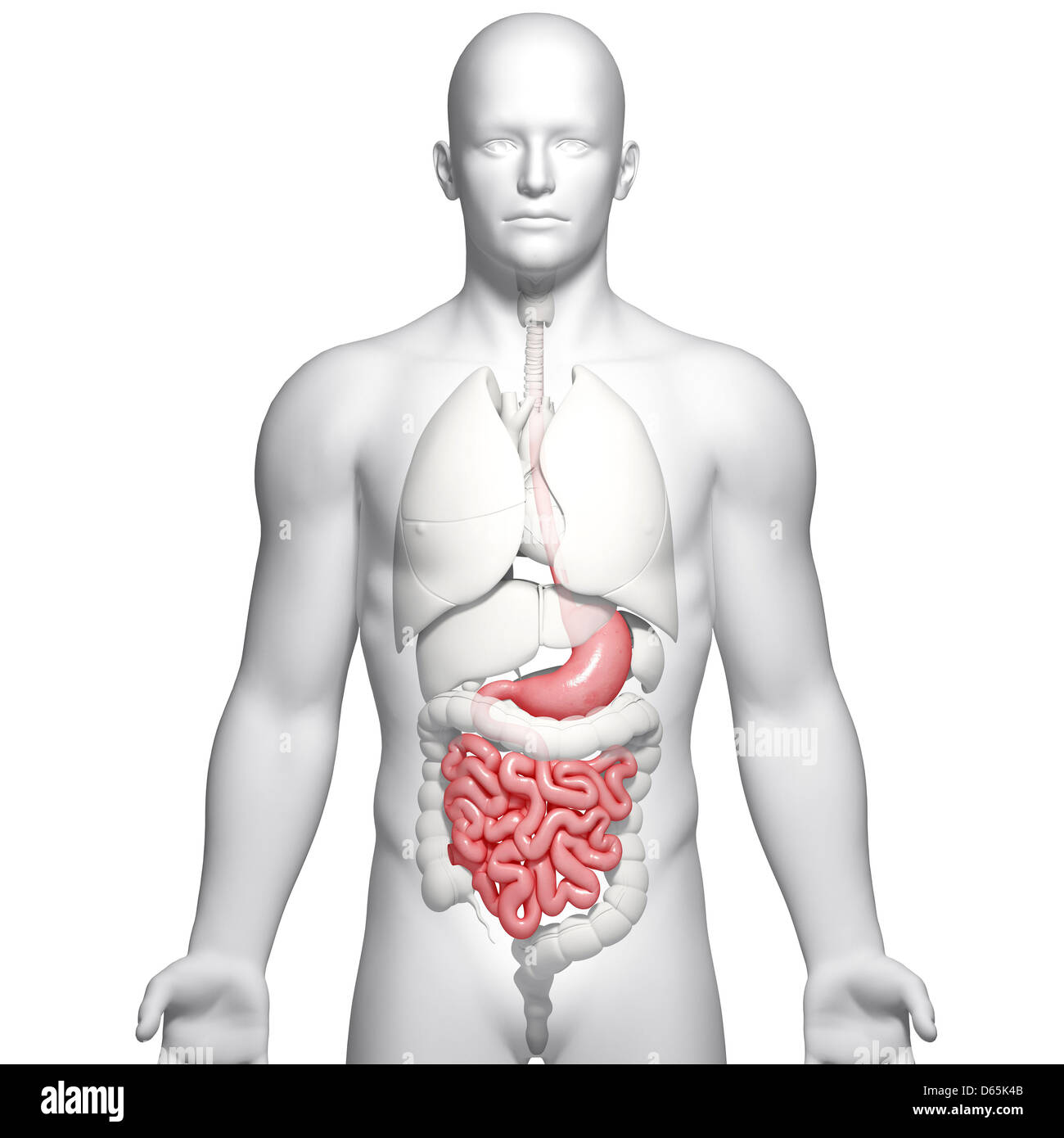Male Digestive System Stockfotos & Male Digestive System Bilder - Alamy