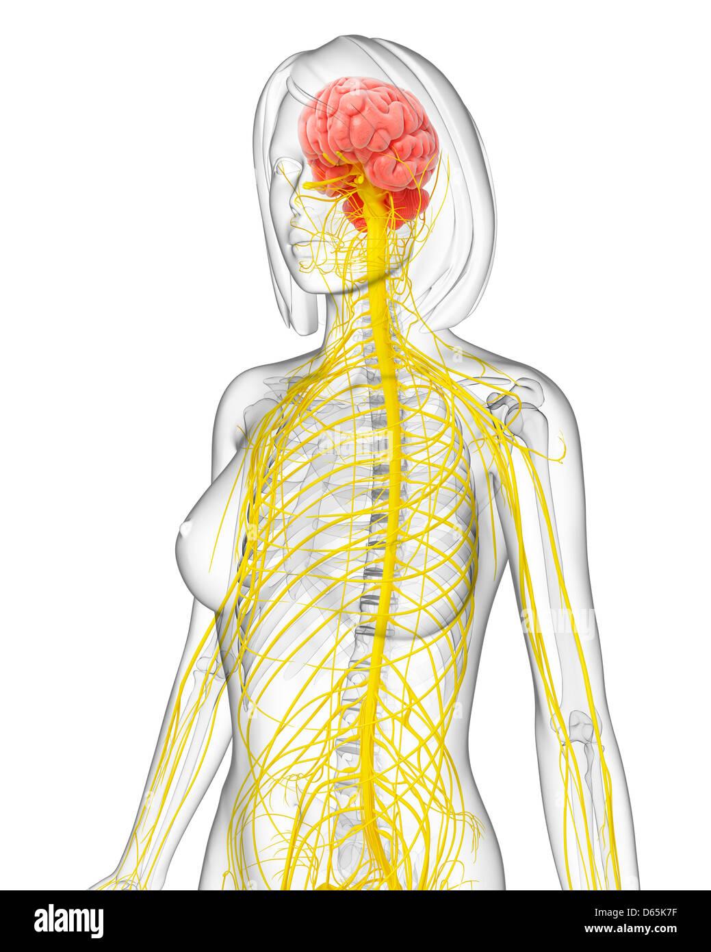 Berühmt Nierensammelsystem Anatomie Zeitgenössisch - Anatomie Ideen ...