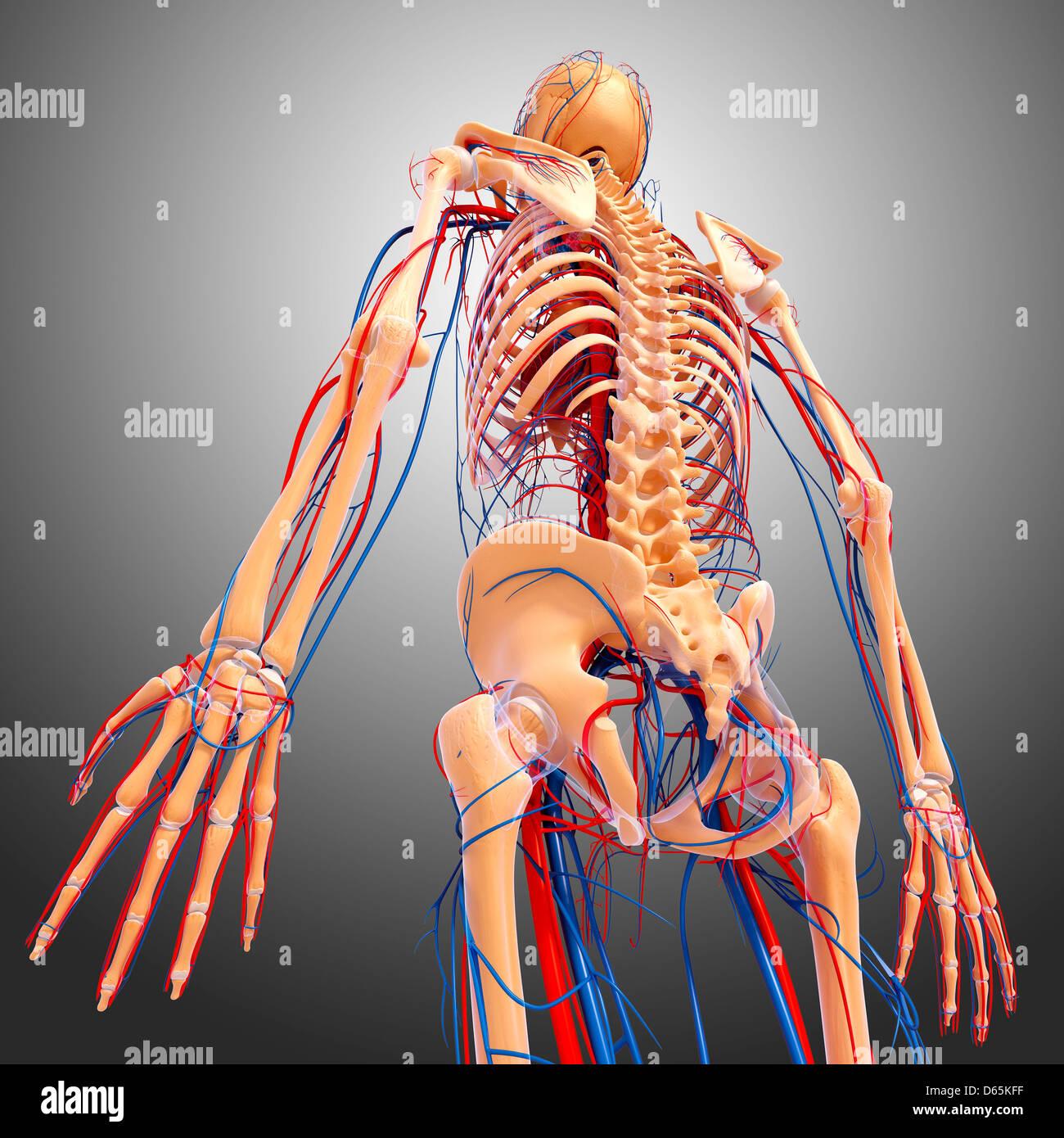 Atemberaubend Schulter Anatomie Posterior Galerie - Menschliche ...