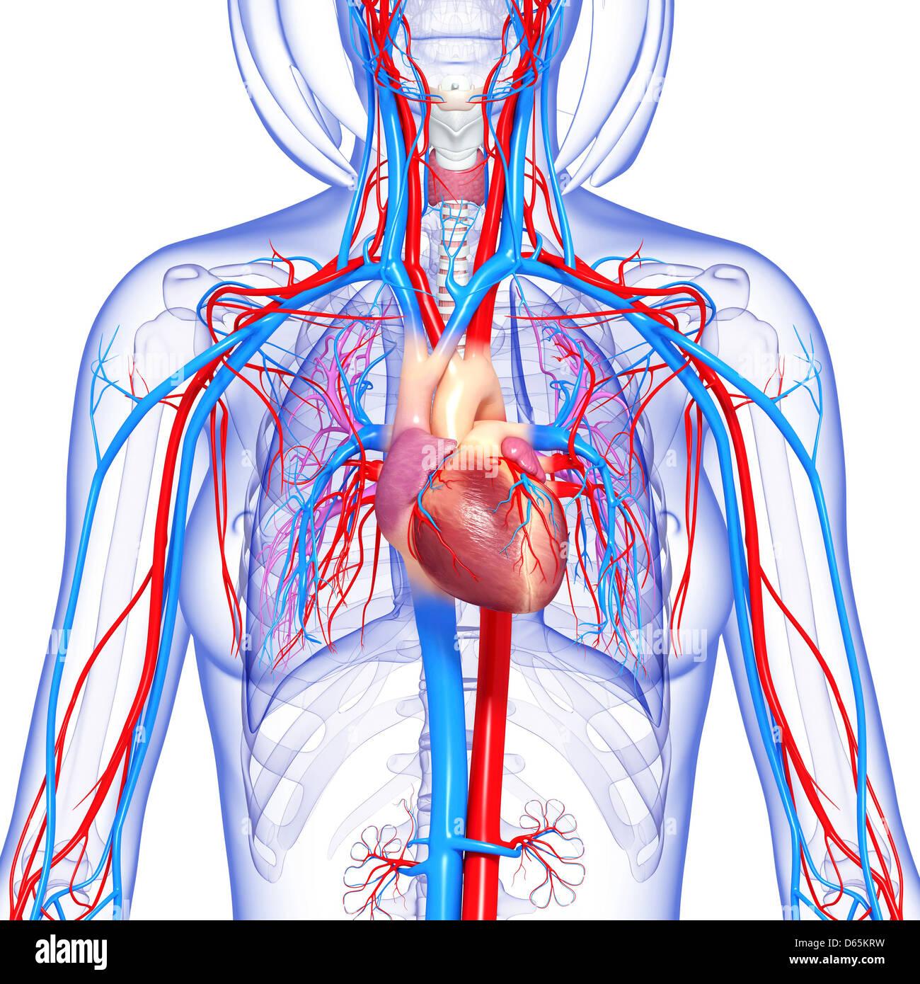 Erfreut Herz Kreislauf Organe Galerie - Menschliche Anatomie Bilder ...