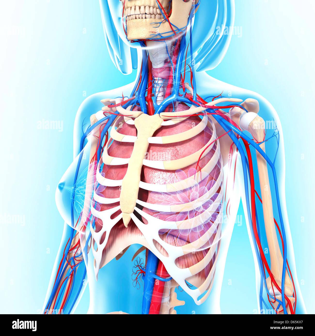 Beste Weibliche Anatomie Klasse Zeitgenössisch - Menschliche ...
