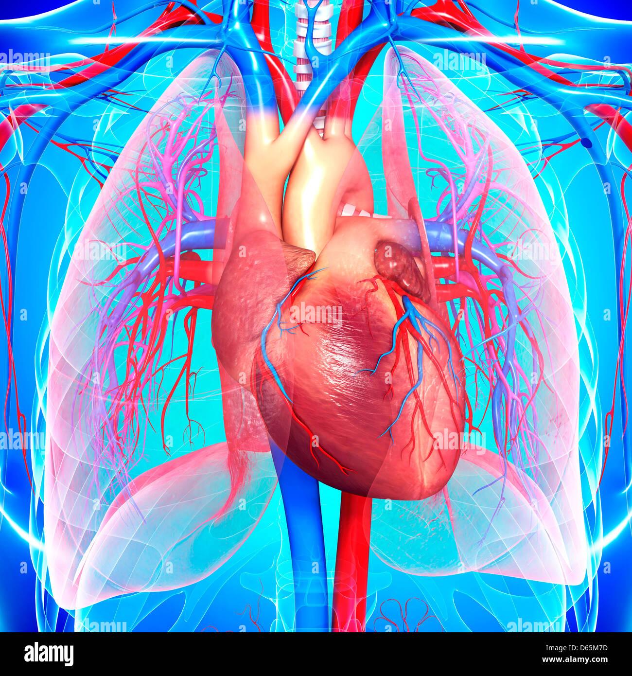Berühmt Die Herz Kreislauf System Blutgefäße Galerie - Menschliche ...