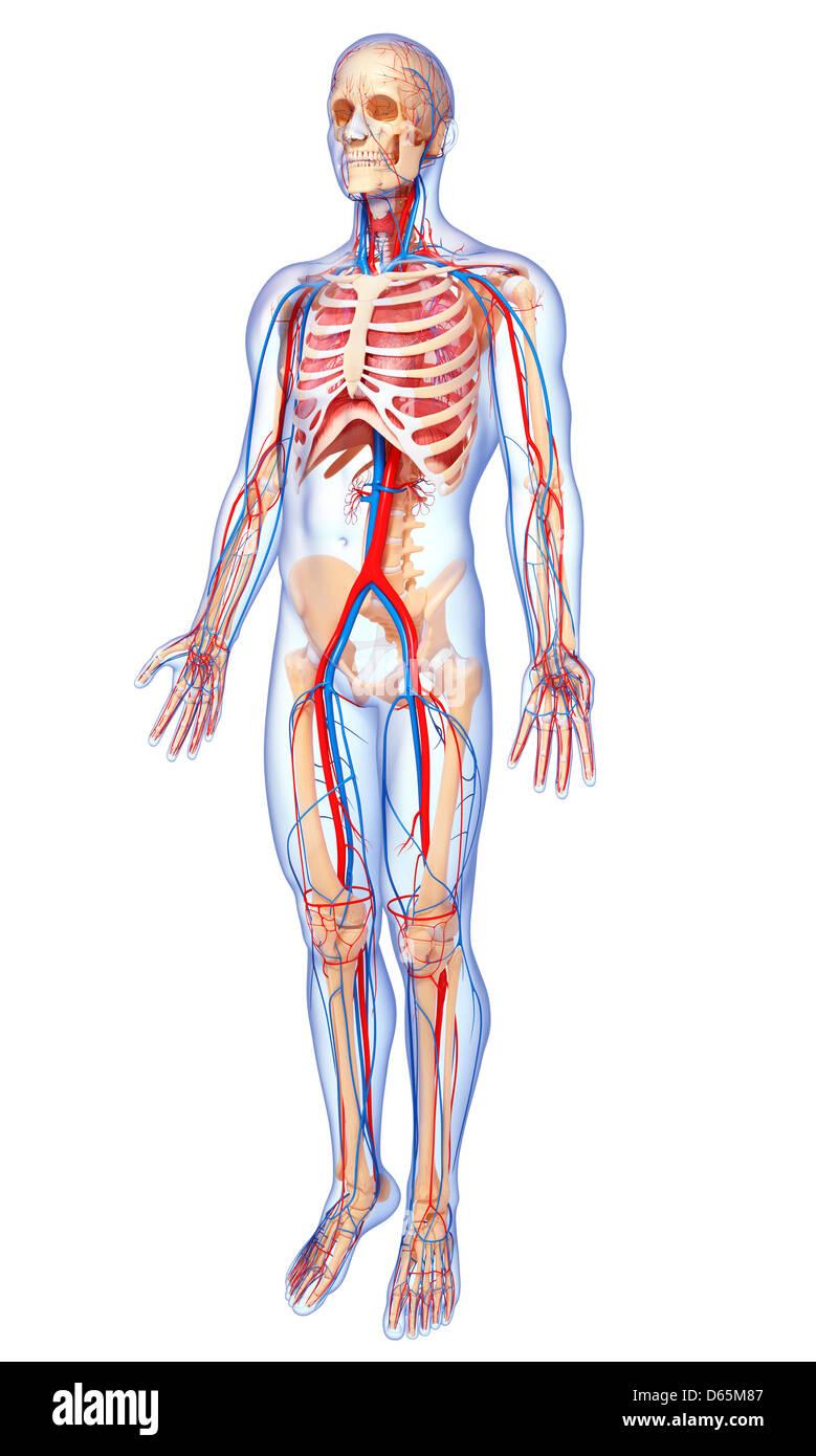 Menschliche Anatomie, artwork Stockfoto, Bild: 55444711 - Alamy