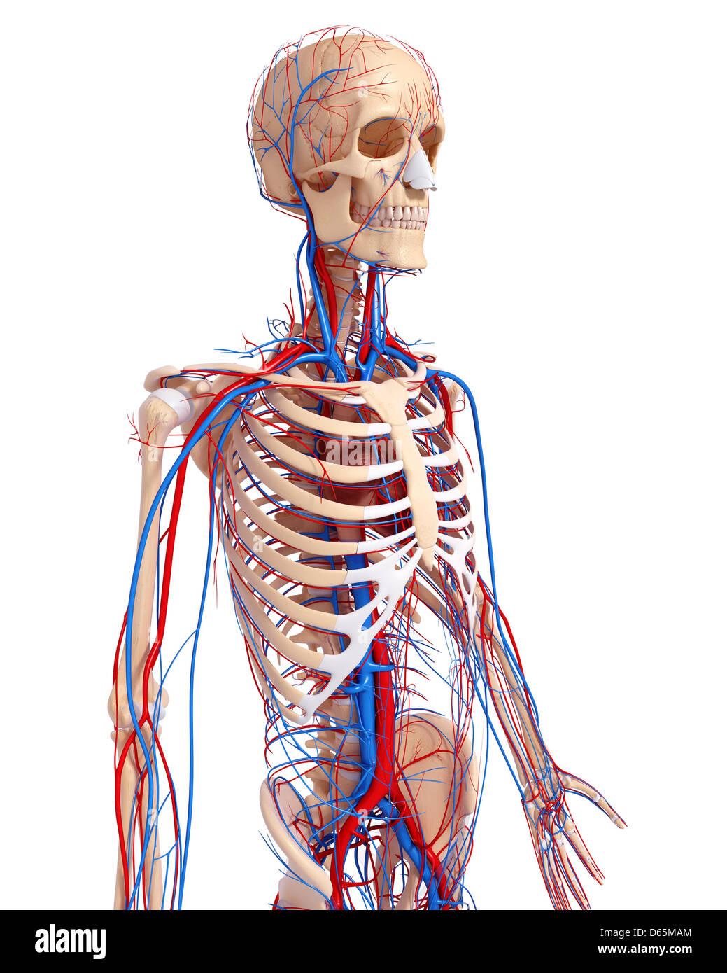 Menschliche Anatomie, artwork Stockfoto, Bild: 55444780 - Alamy