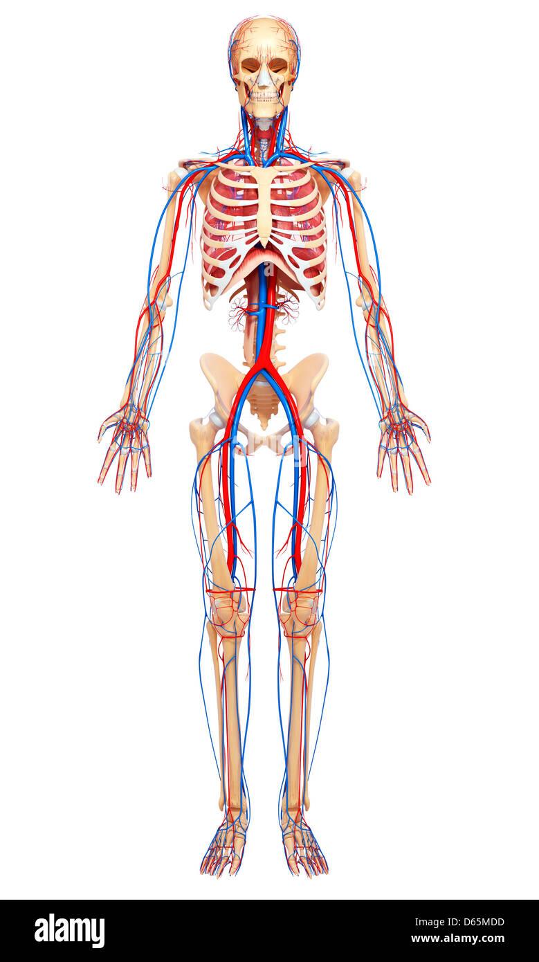 Menschliche Anatomie, artwork Stockfoto, Bild: 55444857 - Alamy