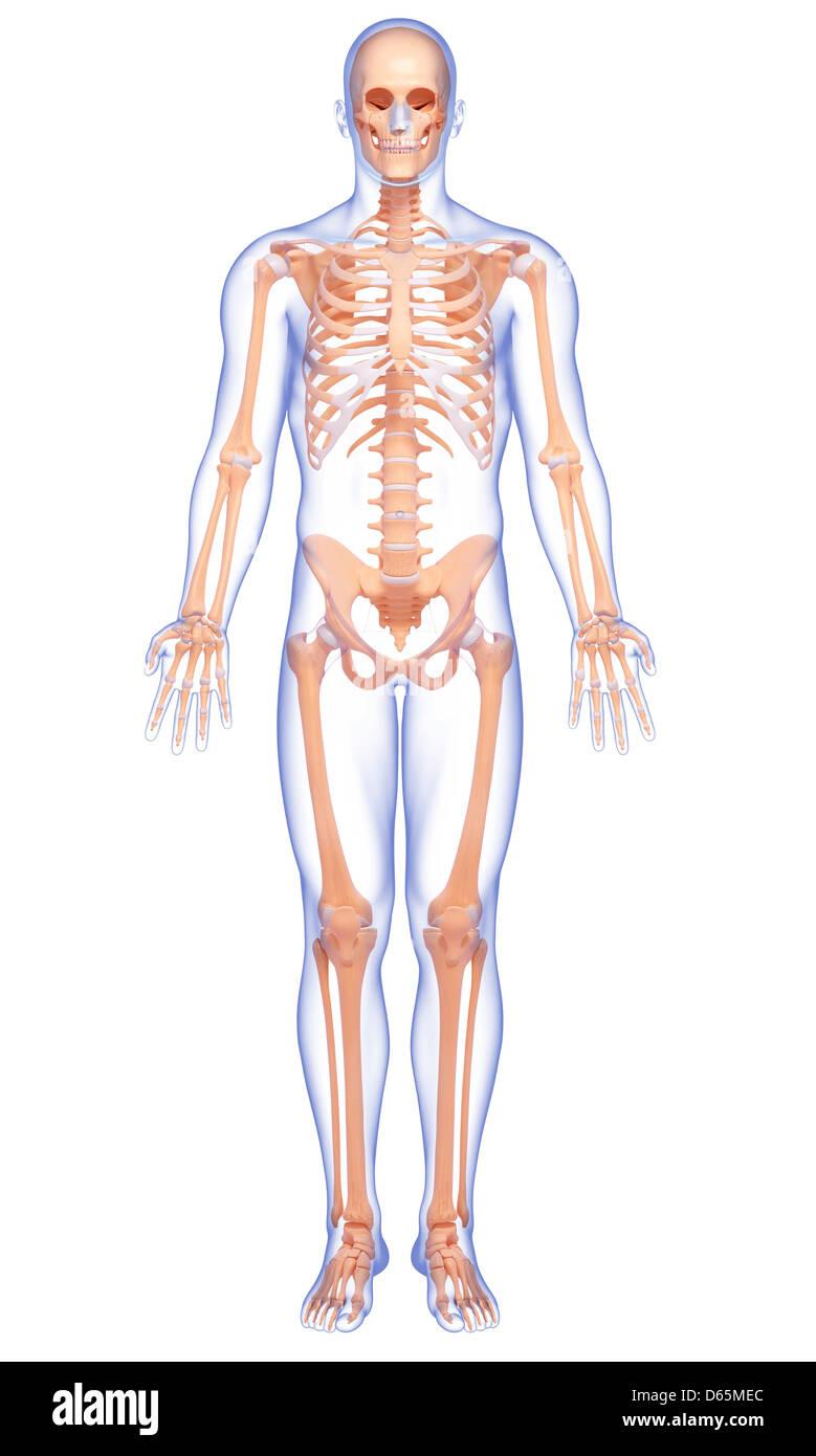 Menschliches Skelett, Kunstwerk Stockfoto, Bild: 55444884 - Alamy