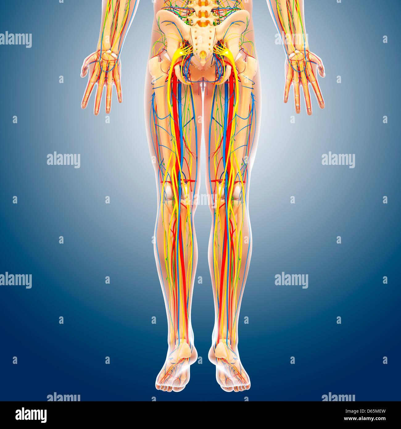 Unteren Körper Anatomie, artwork Stockfoto, Bild: 55444897 - Alamy