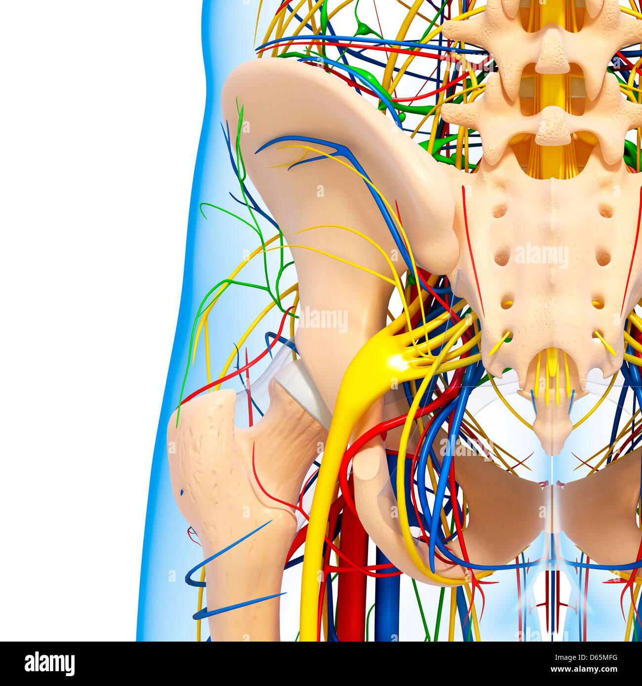 Becken-Anatomie, artwork Stockfoto, Bild: 55444916 - Alamy