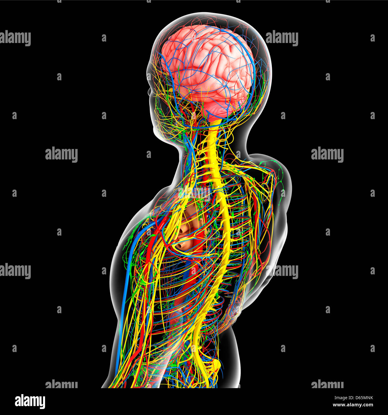 Oberkörper-Anatomie, artwork Stockfoto, Bild: 55445087 - Alamy