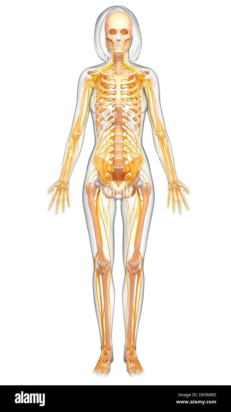 Anatomy Female Pelvis Stockfotos & Anatomy Female Pelvis Bilder ...