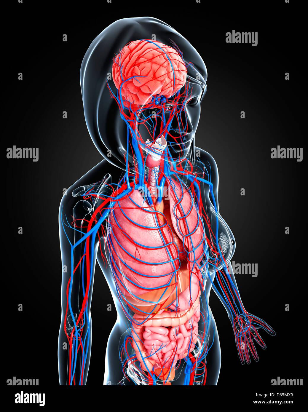 Weibliche Anatomie, artwork Stockfoto, Bild: 55445231 - Alamy