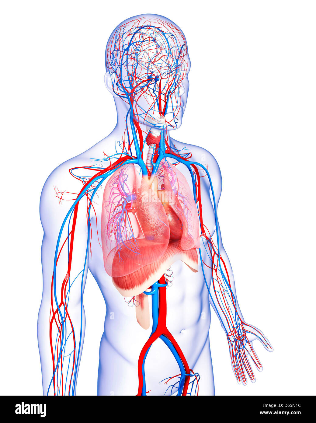 Menschliche Anatomie, artwork Stockfoto, Bild: 55445304 - Alamy