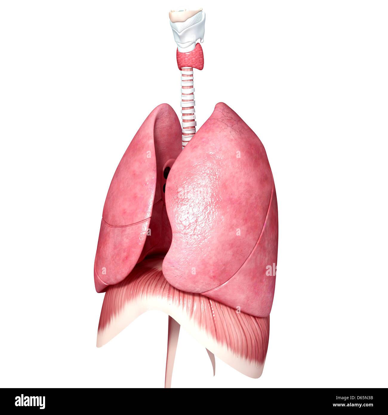 Brust-Anatomie, artwork Stockfoto, Bild: 55445359 - Alamy