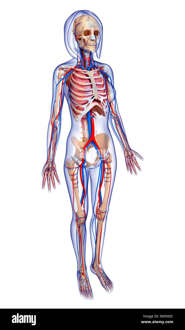 Weibliche Anatomie, artwork Stockfoto, Bild: 55445640 - Alamy