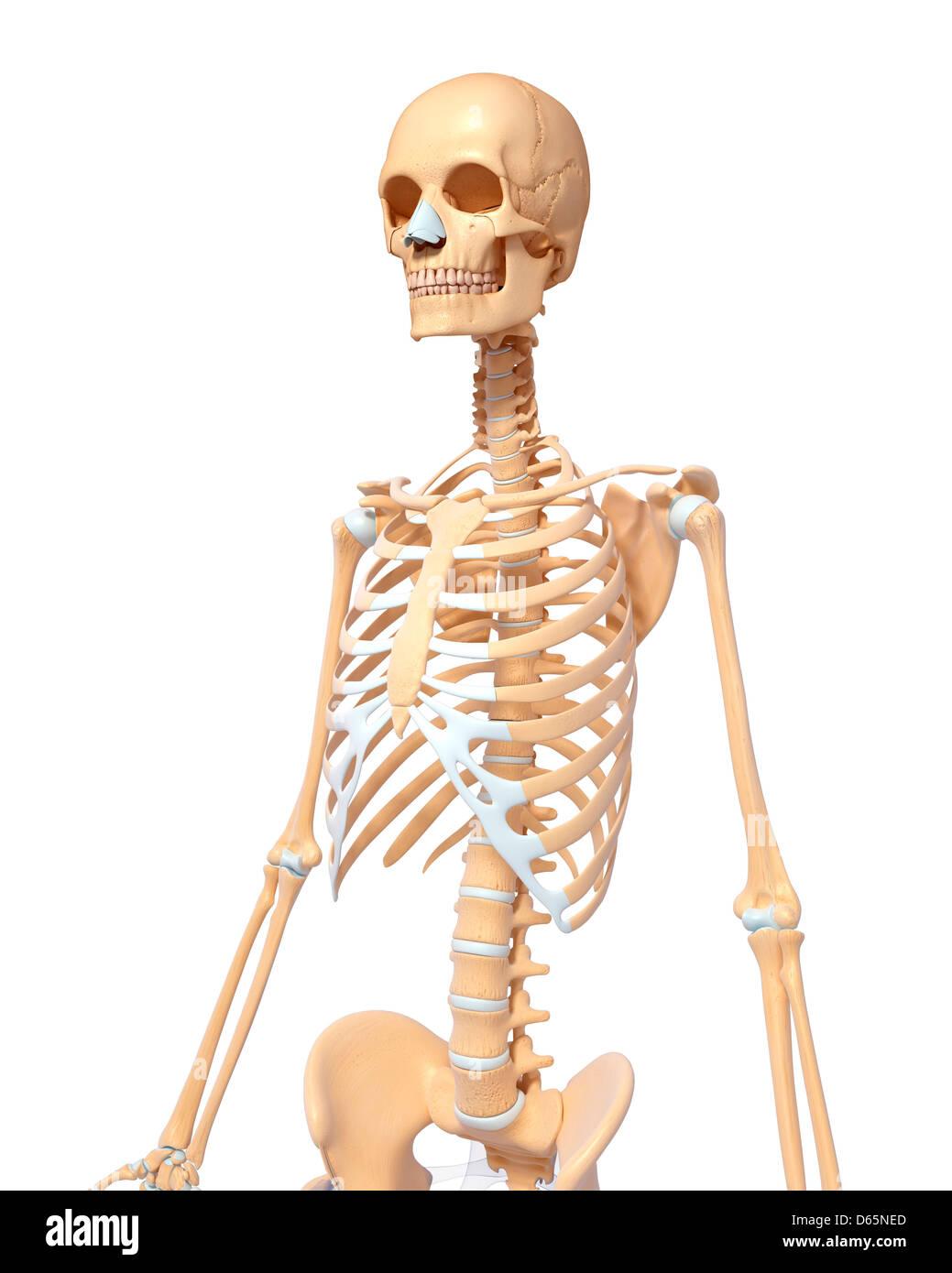 Menschliches Skelett, Kunstwerk Stockfoto, Bild: 55445669 - Alamy