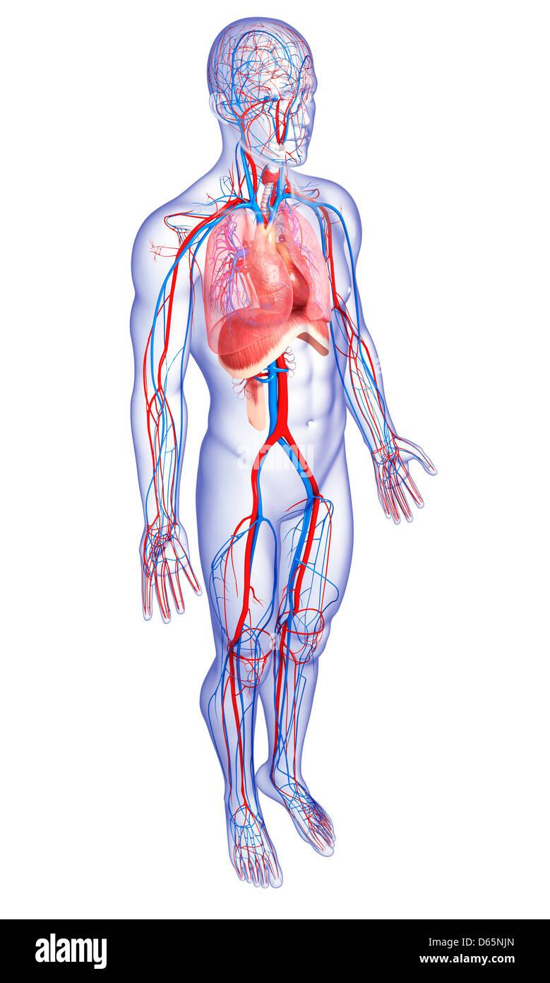 Thorax Anatomy Stockfotos & Thorax Anatomy Bilder - Alamy
