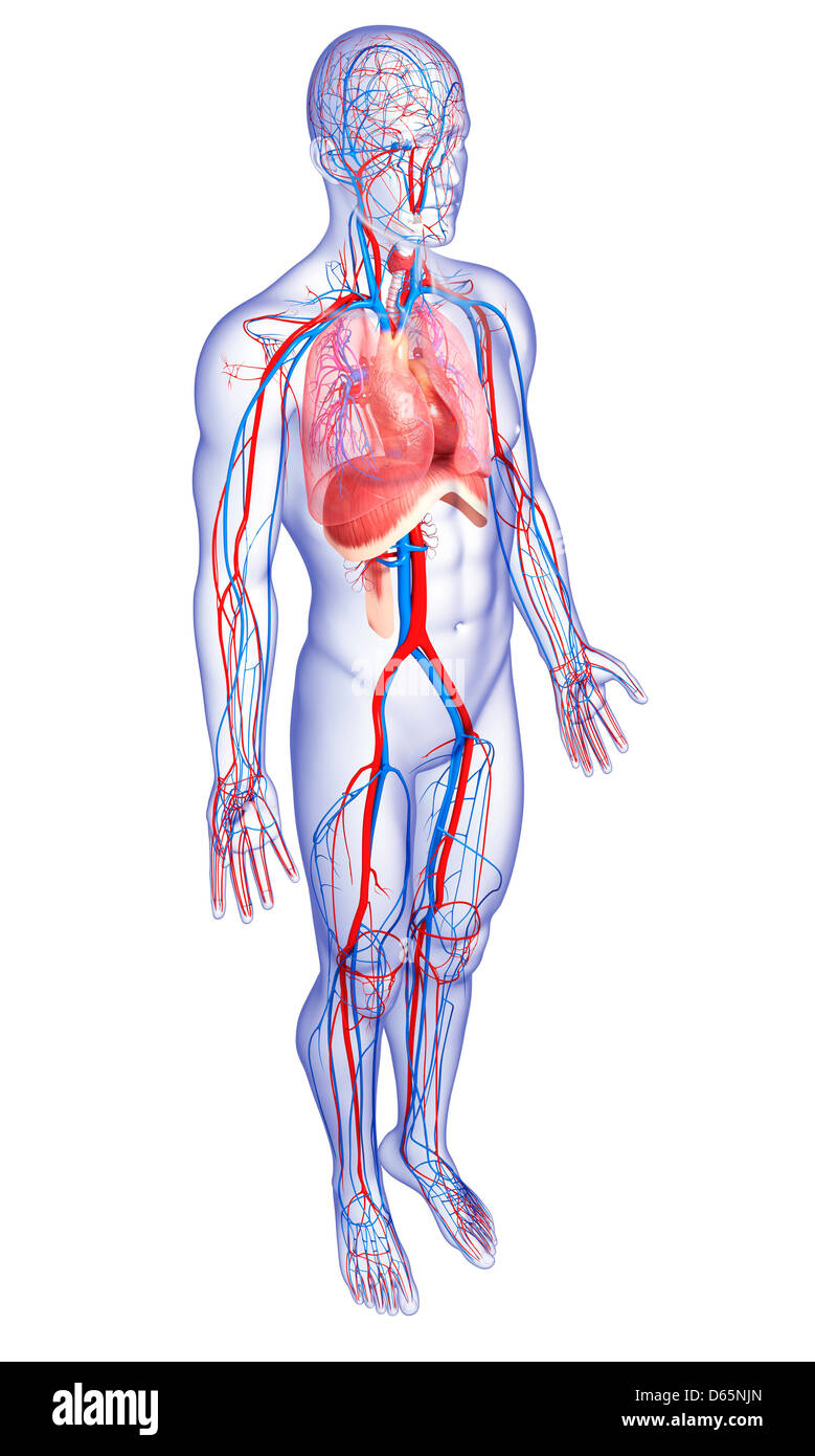 External Carotid Artery Stockfotos & External Carotid Artery Bilder ...