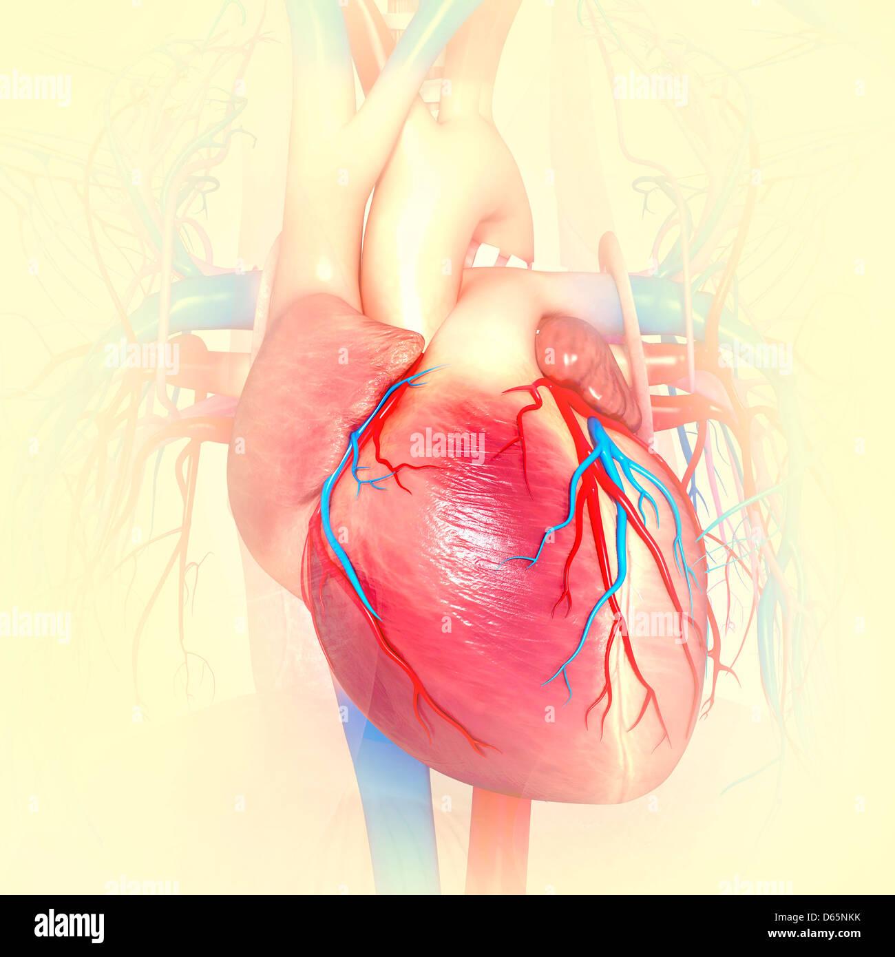Fein Wo Ist Das Menschliche Herz Ideen - Menschliche Anatomie Bilder ...