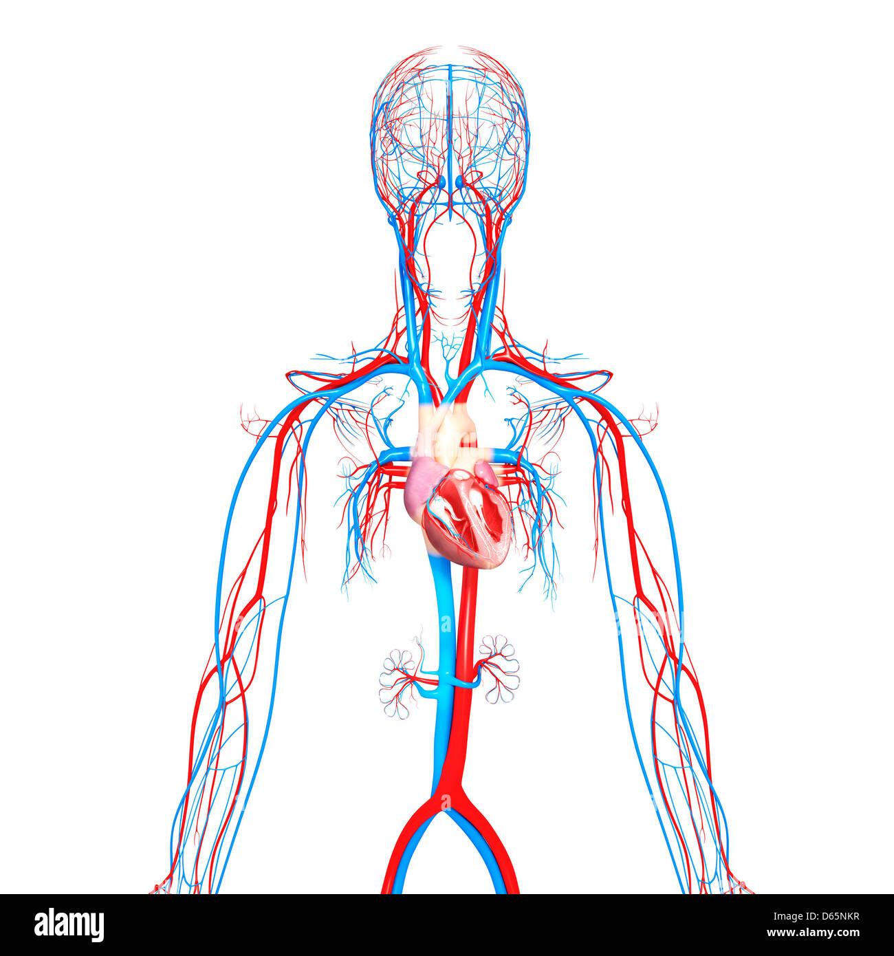 Atemberaubend Herz Kreislauf System Funktionen Zeitgenössisch ...
