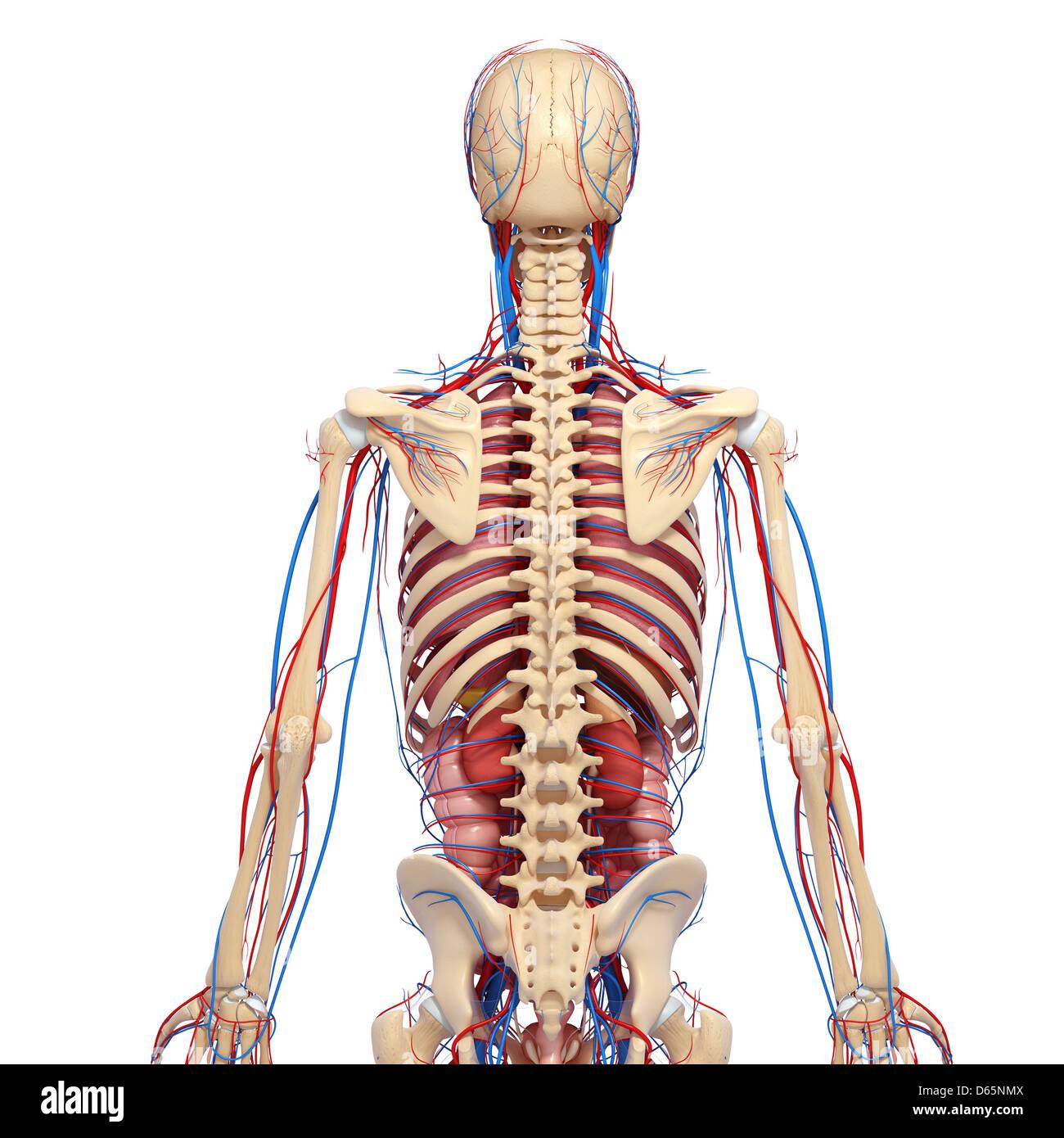Ausgezeichnet Vollständige Menschliche Anatomie Zeitgenössisch ...