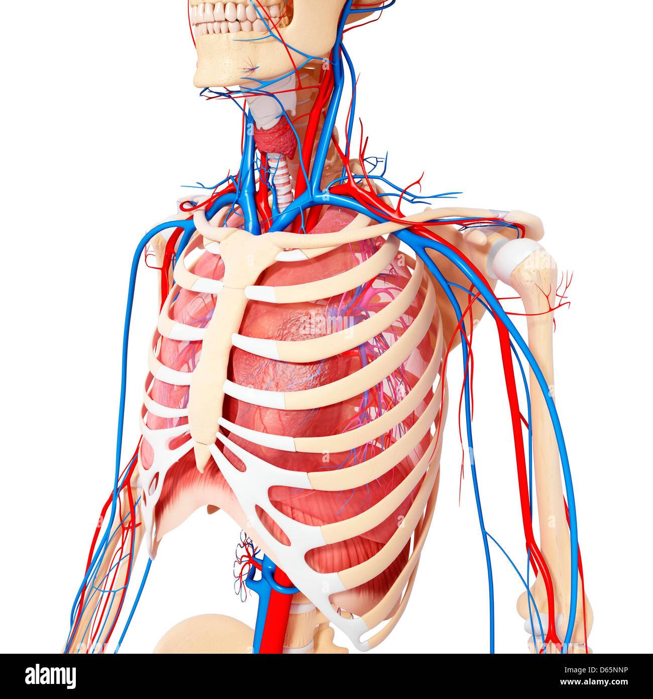 Brust-Anatomie, artwork Stockfoto, Bild: 55445874 - Alamy