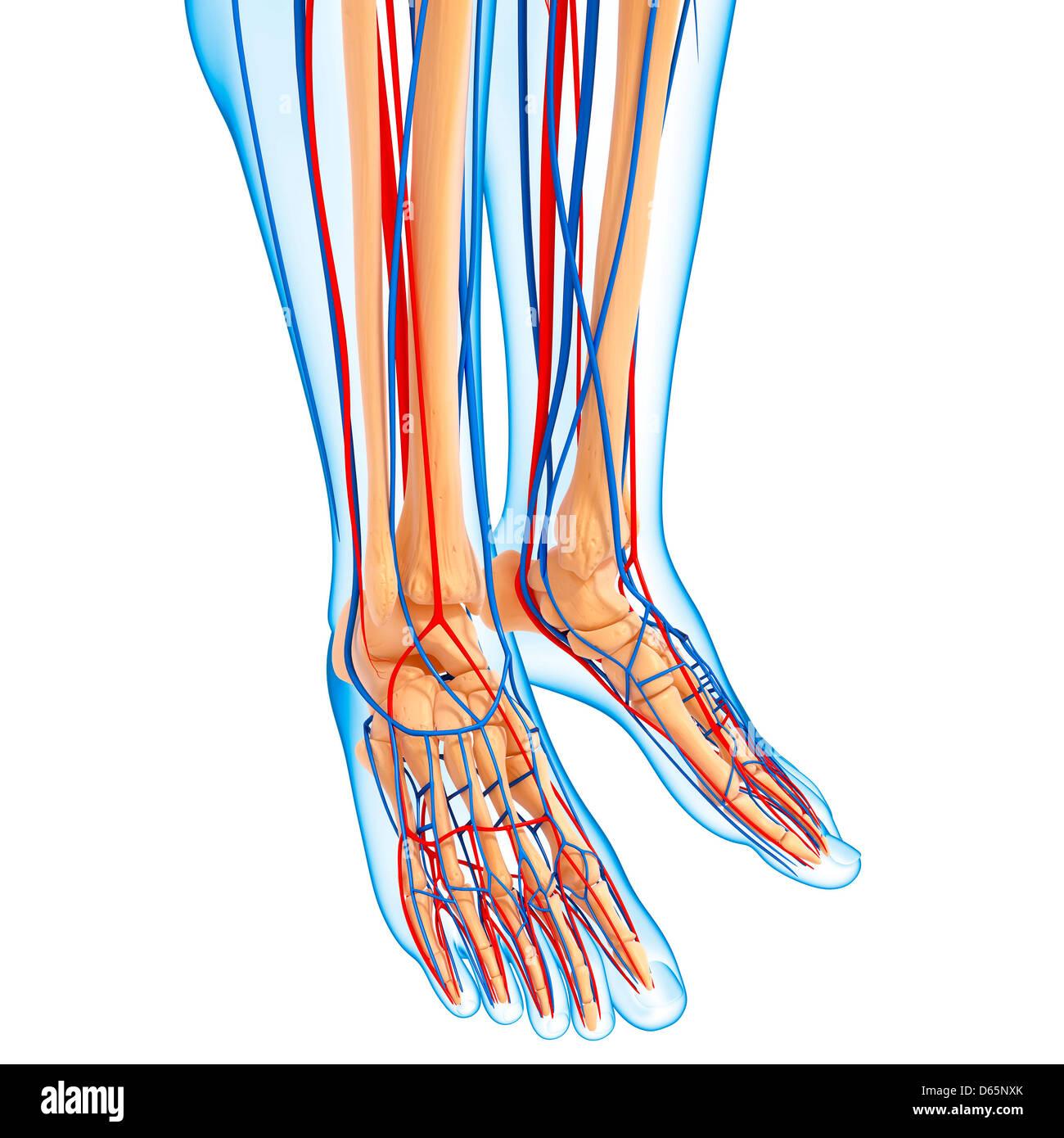 Untere Bein Anatomie, artwork Stockfoto, Bild: 55446011 - Alamy