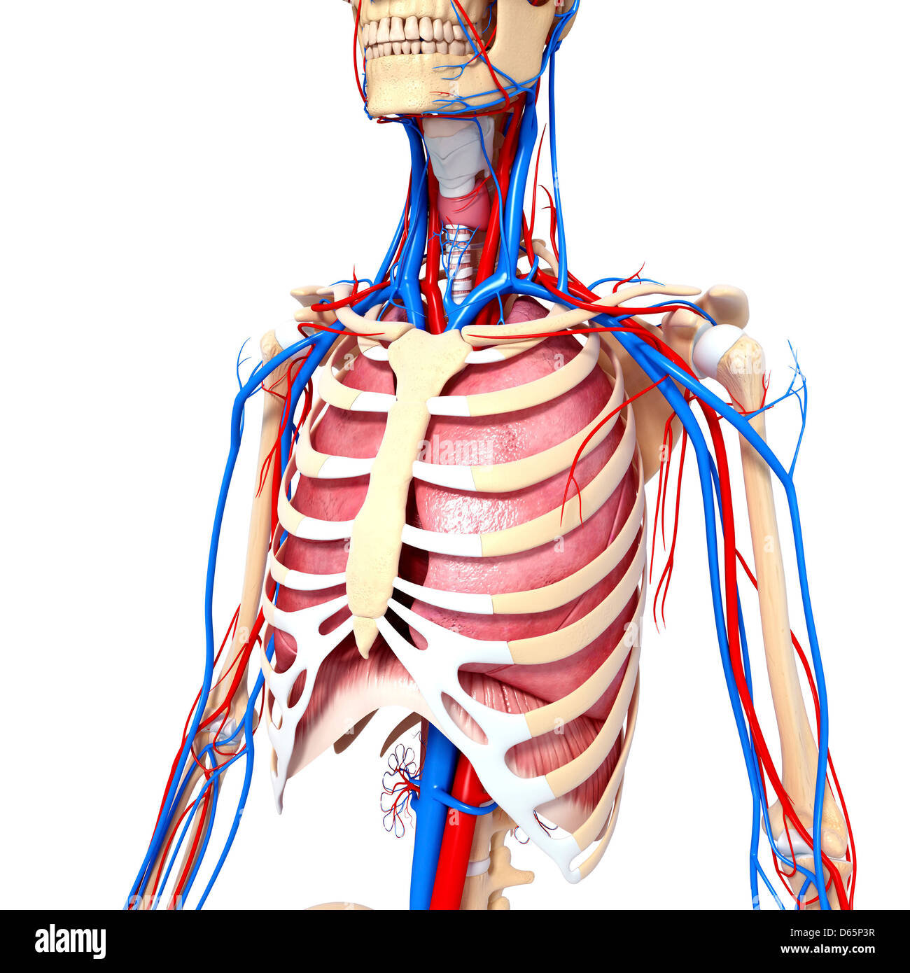 Großzügig Anatomie Der Brust Fotos - Menschliche Anatomie Bilder ...