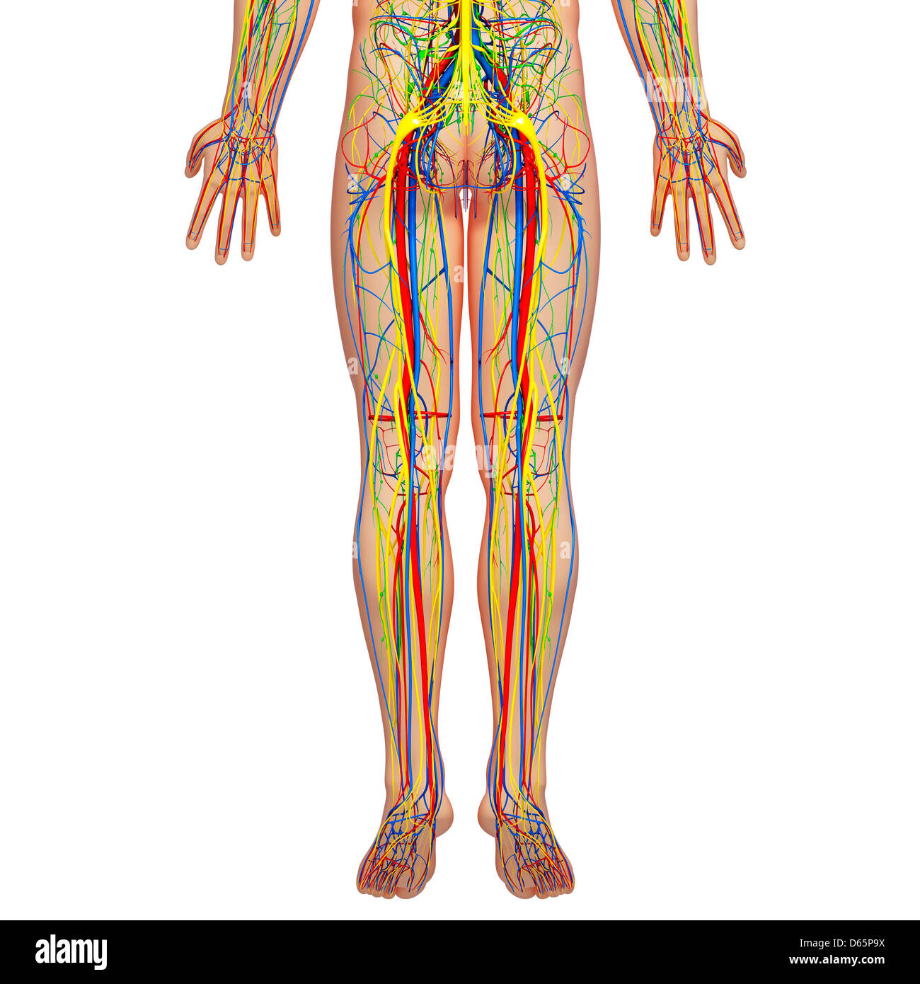 Unteren Körper Anatomie, artwork Stockfoto, Bild: 55446326 - Alamy