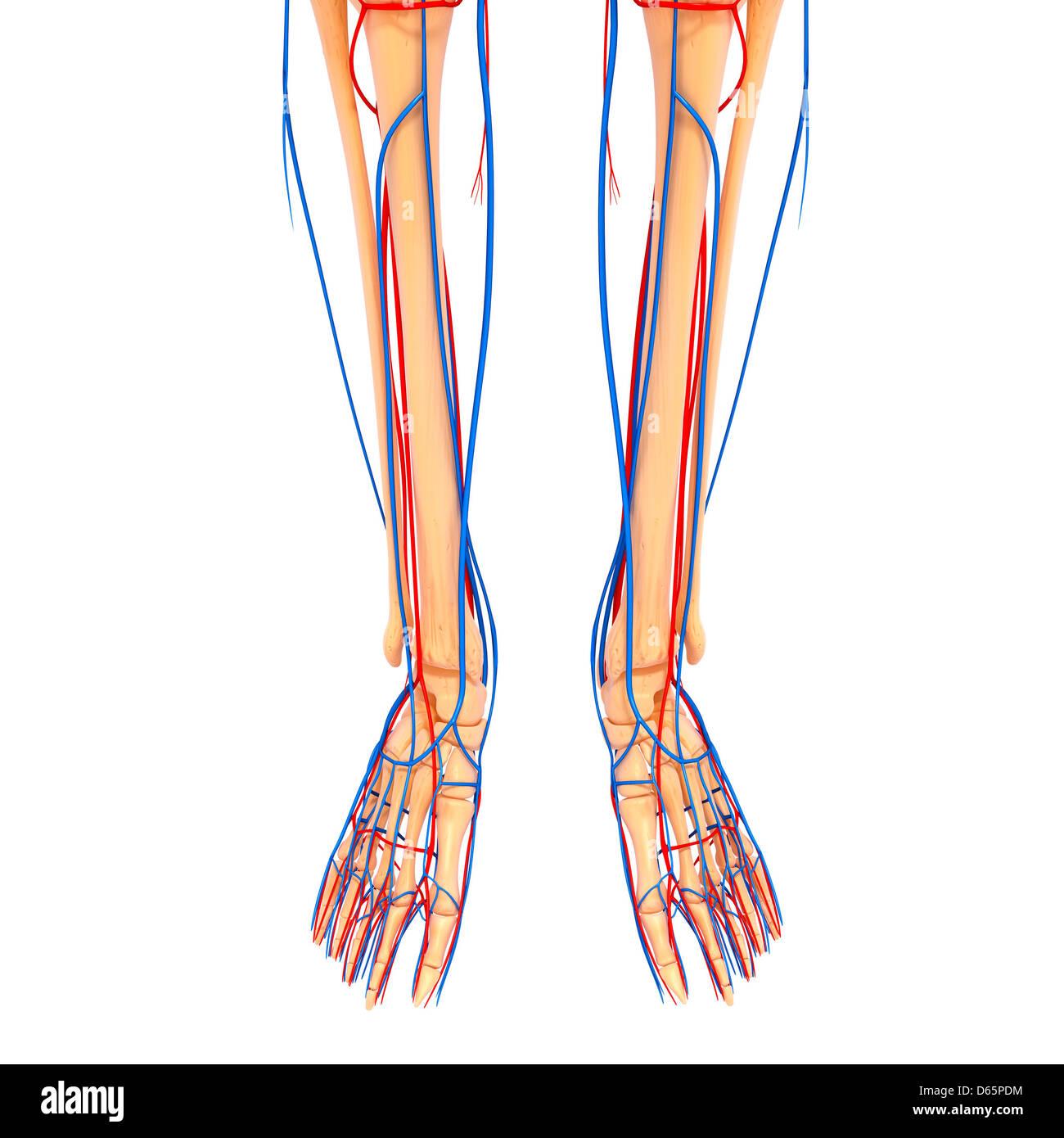 Untere Bein Anatomie, artwork Stockfoto, Bild: 55446432 - Alamy