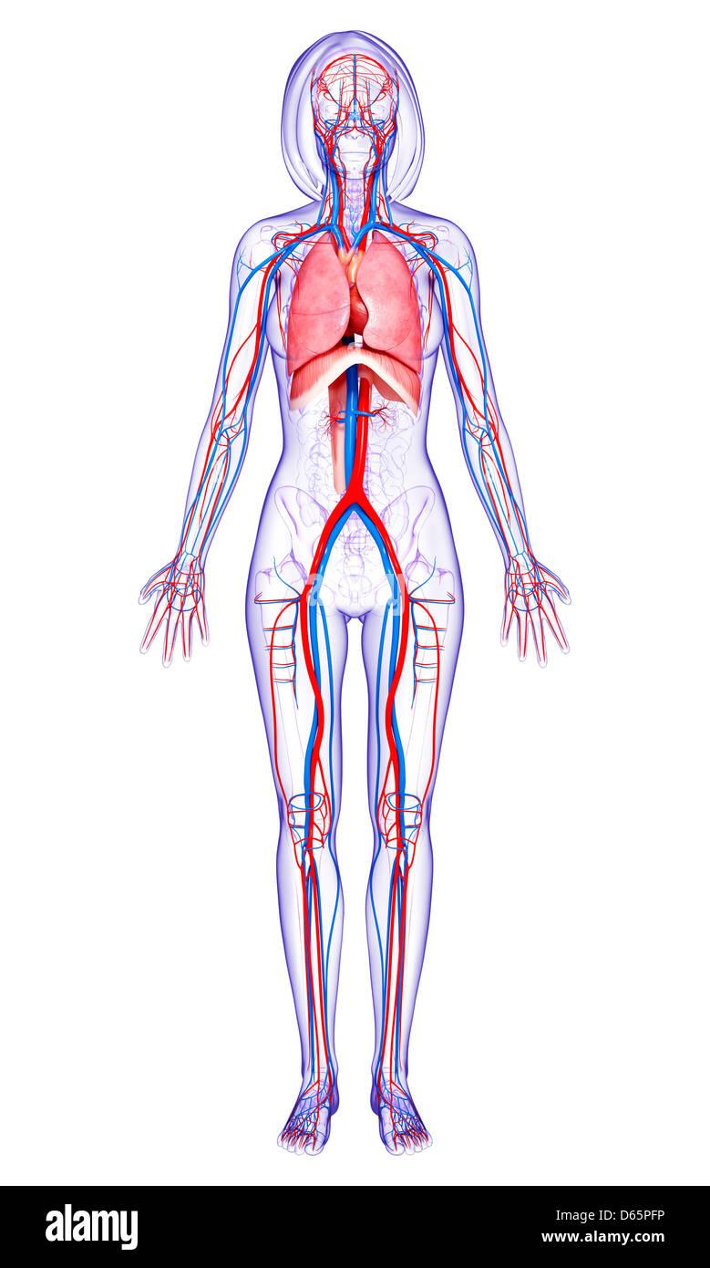 Erfreut O Weibliche Anatomie Fotos - Menschliche Anatomie Bilder ...