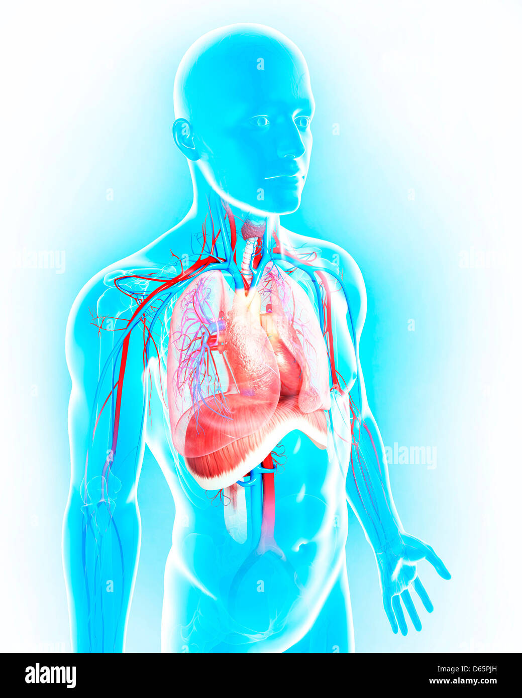 Männliche Anatomie, artwork Stockfoto, Bild: 55446569 - Alamy