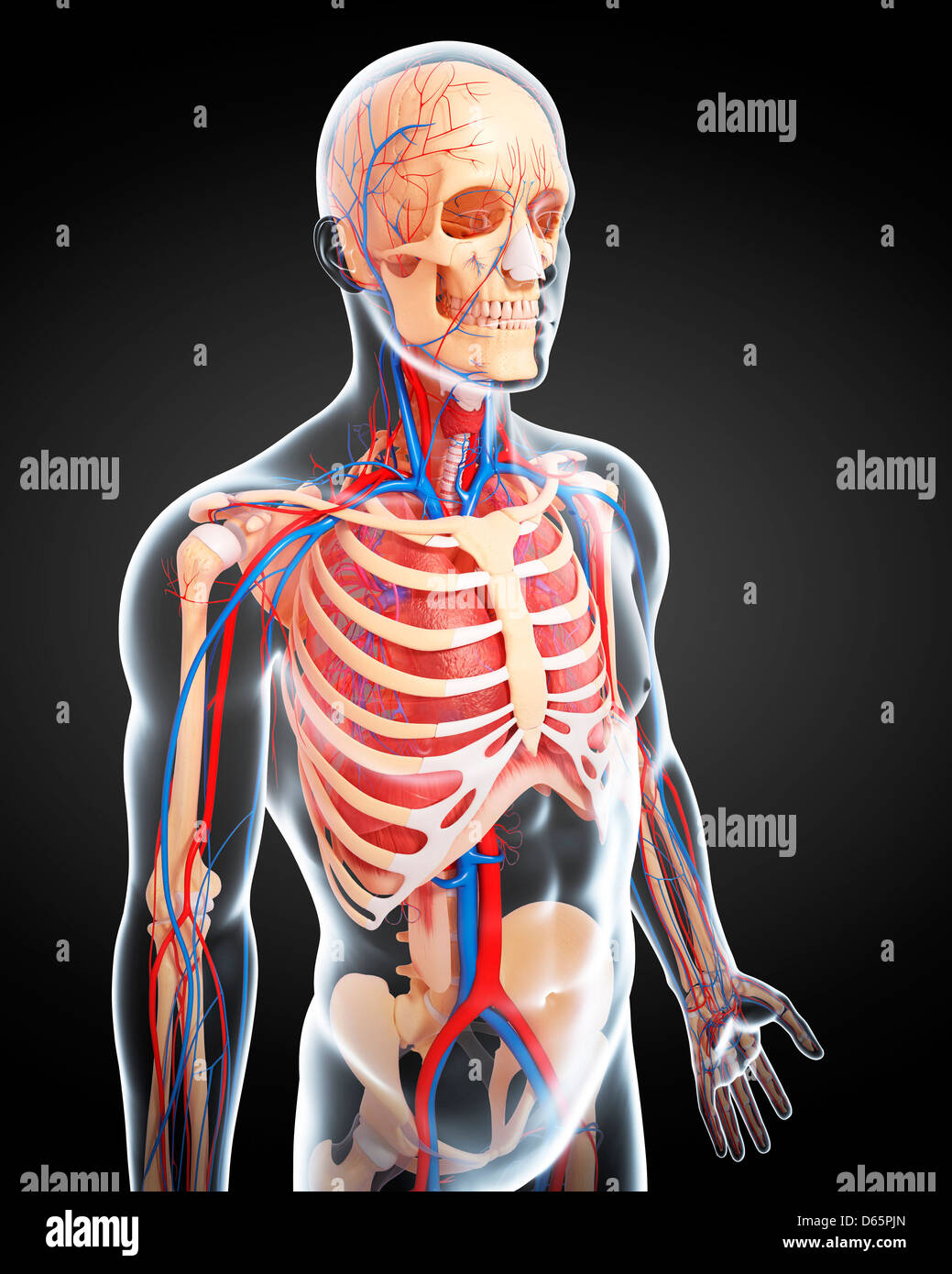 Erfreut Einführung In Die Anatomie Und Physiologie Gutherz Willcox ...