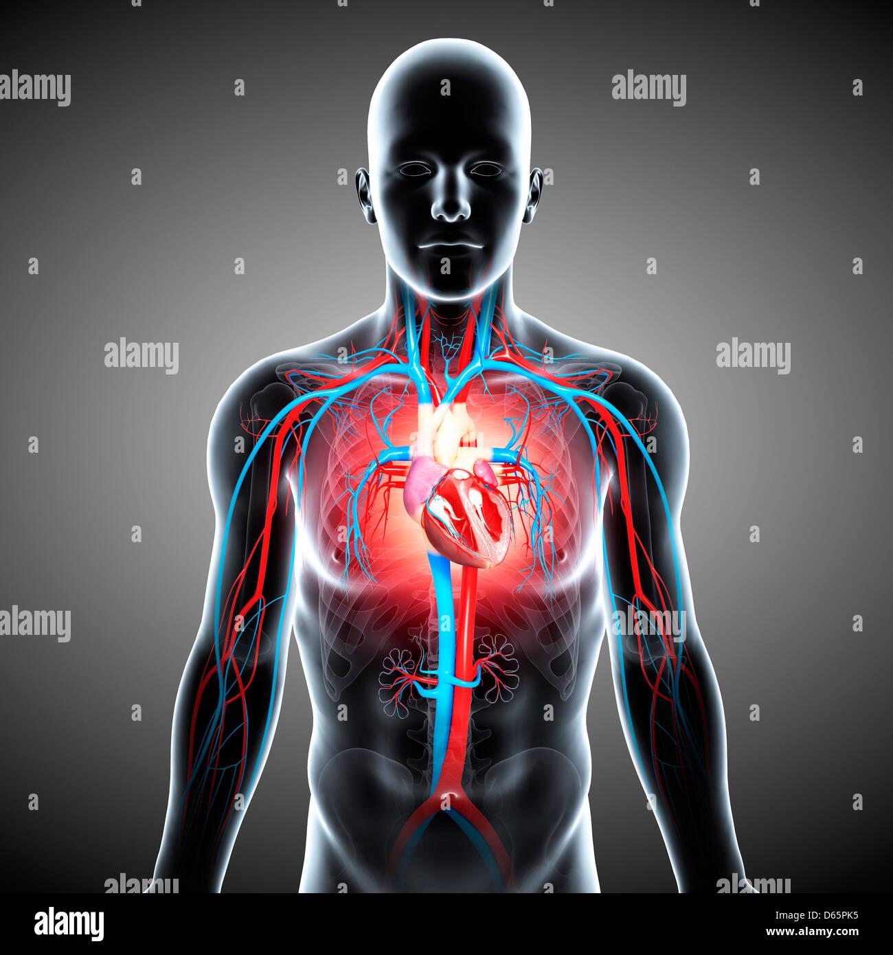 Groß Anatomie Und Physiologie Des Herz Kreislauf Systems Fotos ...