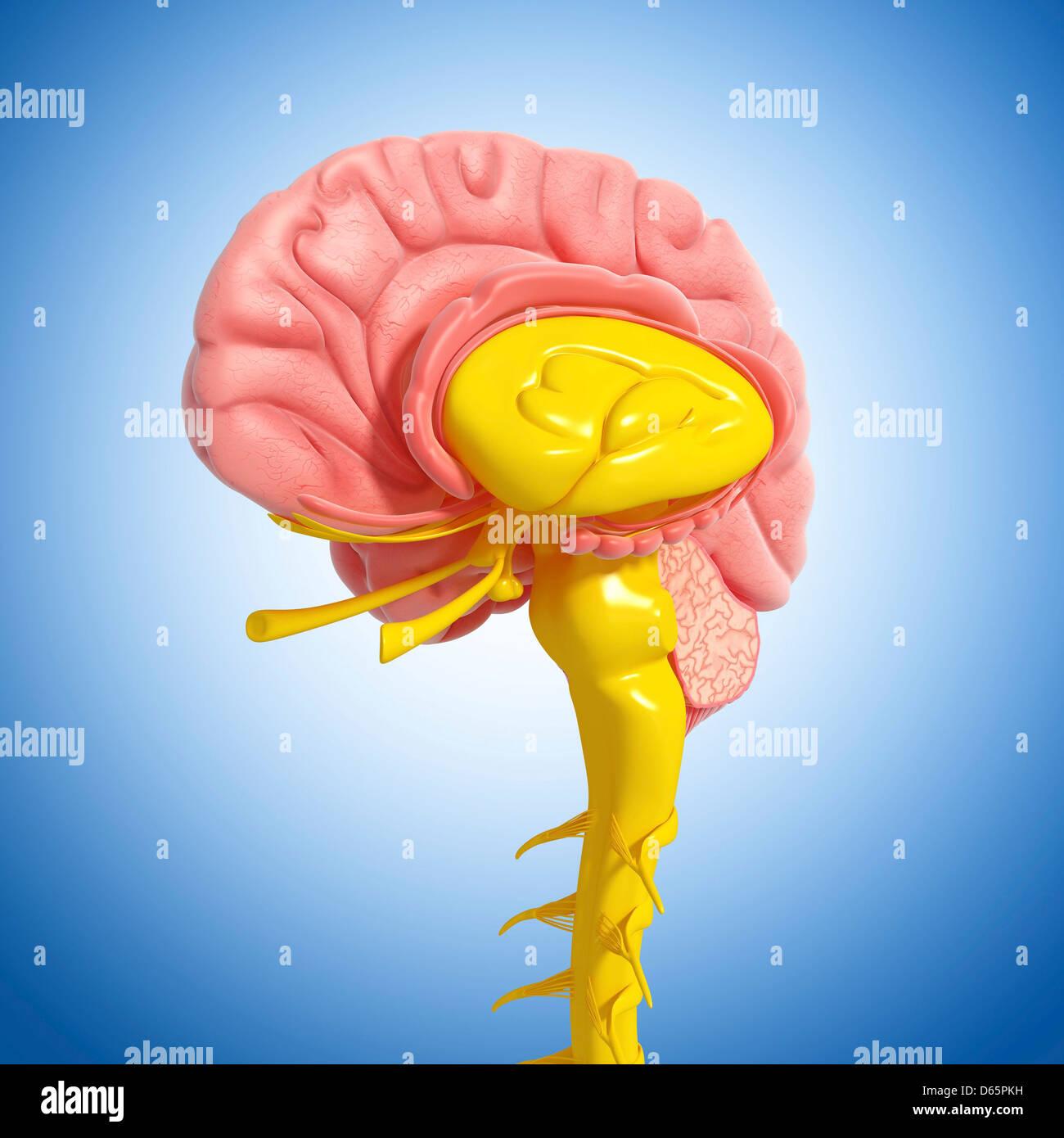 Illustration Human Midbrain Anatomy Stockfotos & Illustration Human ...