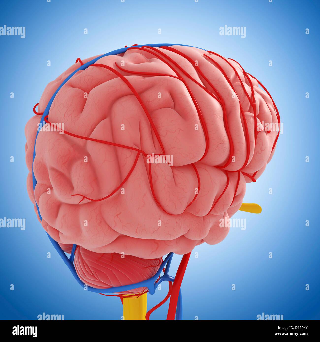 Beste Gehirn Funktionelle Anatomie Bilder - Physiologie Von ...