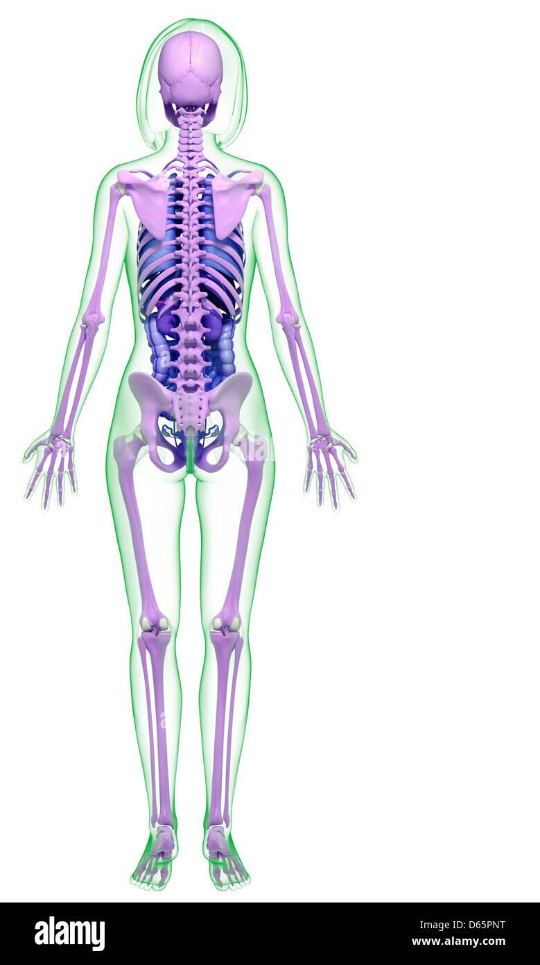 Weibliche Anatomie, artwork Stockfoto, Bild: 55446660 - Alamy