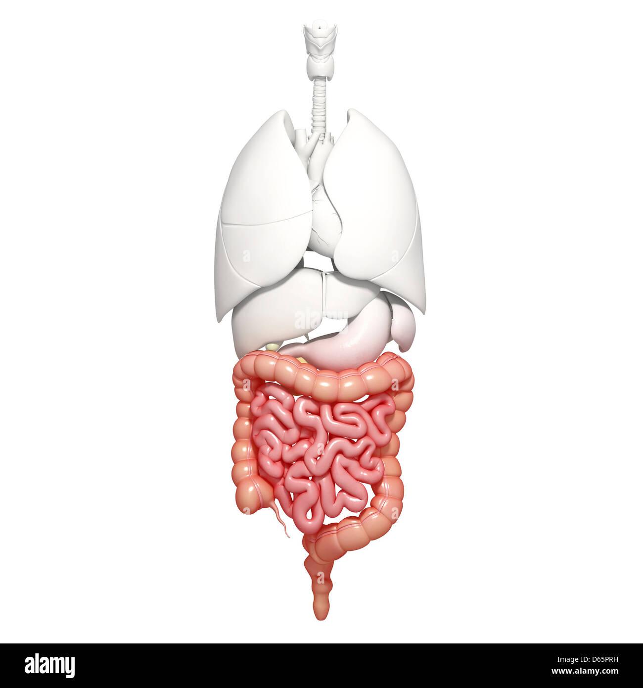 Gesunder Darm, artwork Stockfoto, Bild: 55446709 - Alamy
