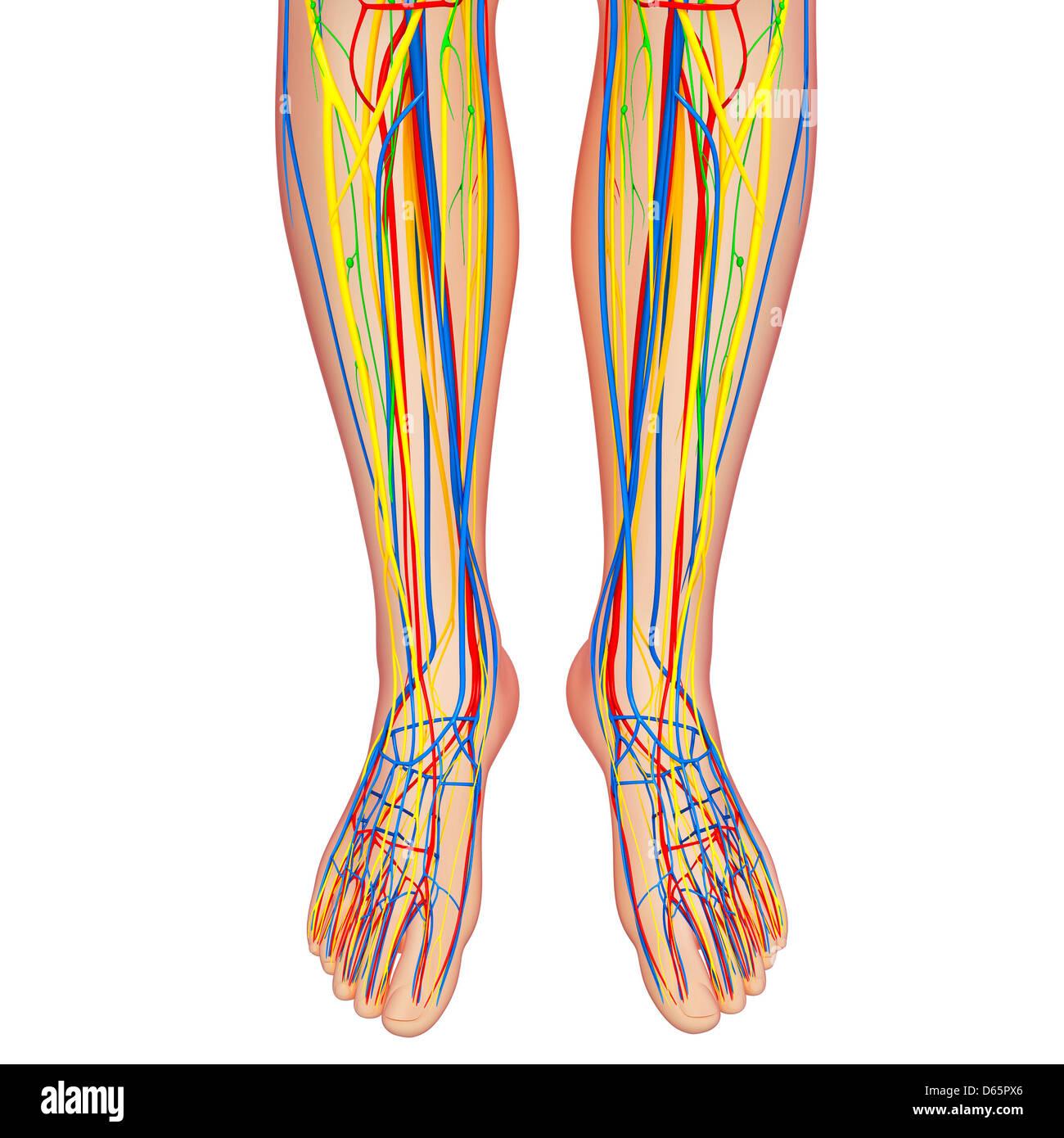Human Vascular System Foot Stockfotos & Human Vascular System Foot ...