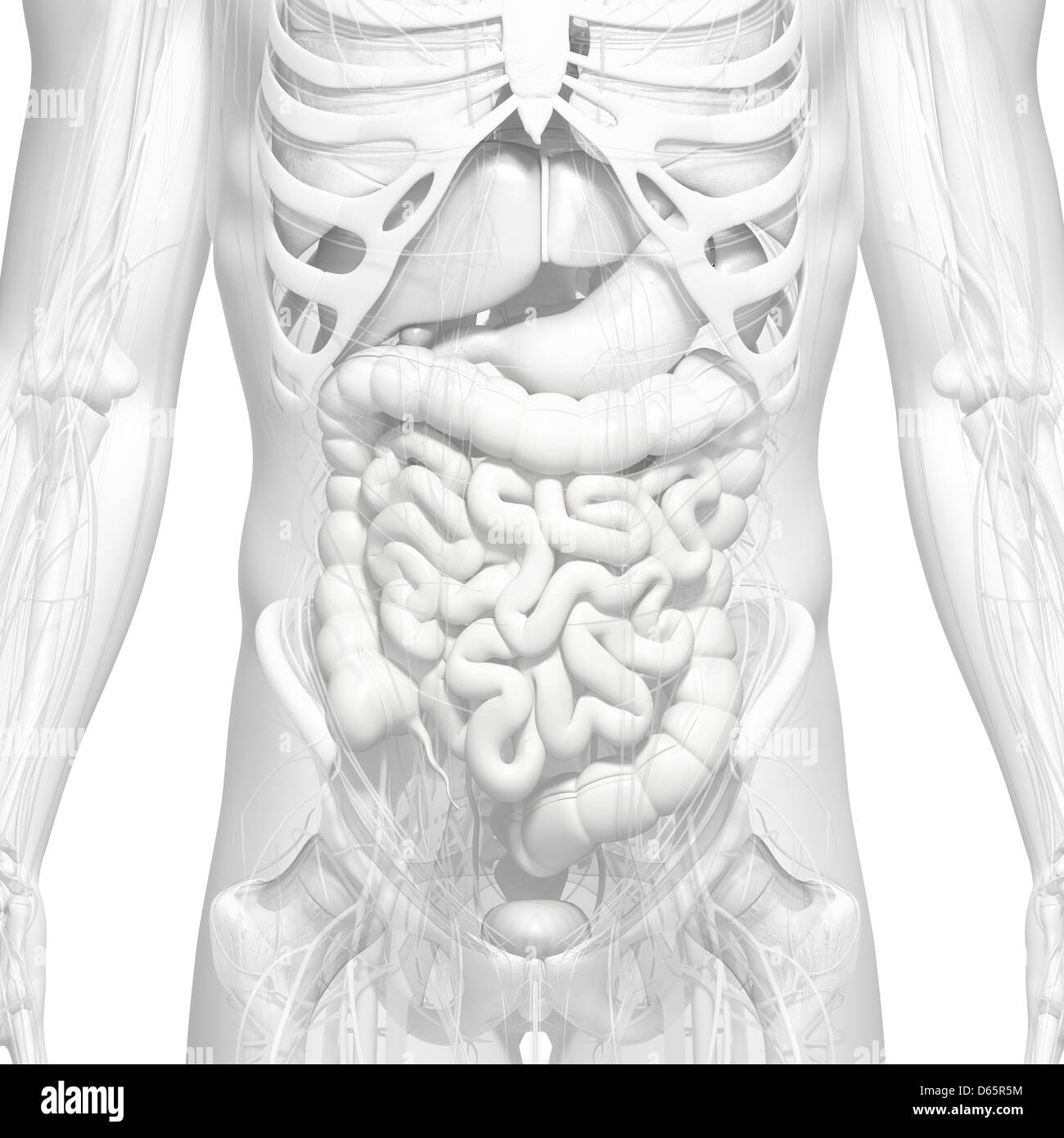Ausgezeichnet Männliche Anatomie Fortpflanzungssystem Galerie ...