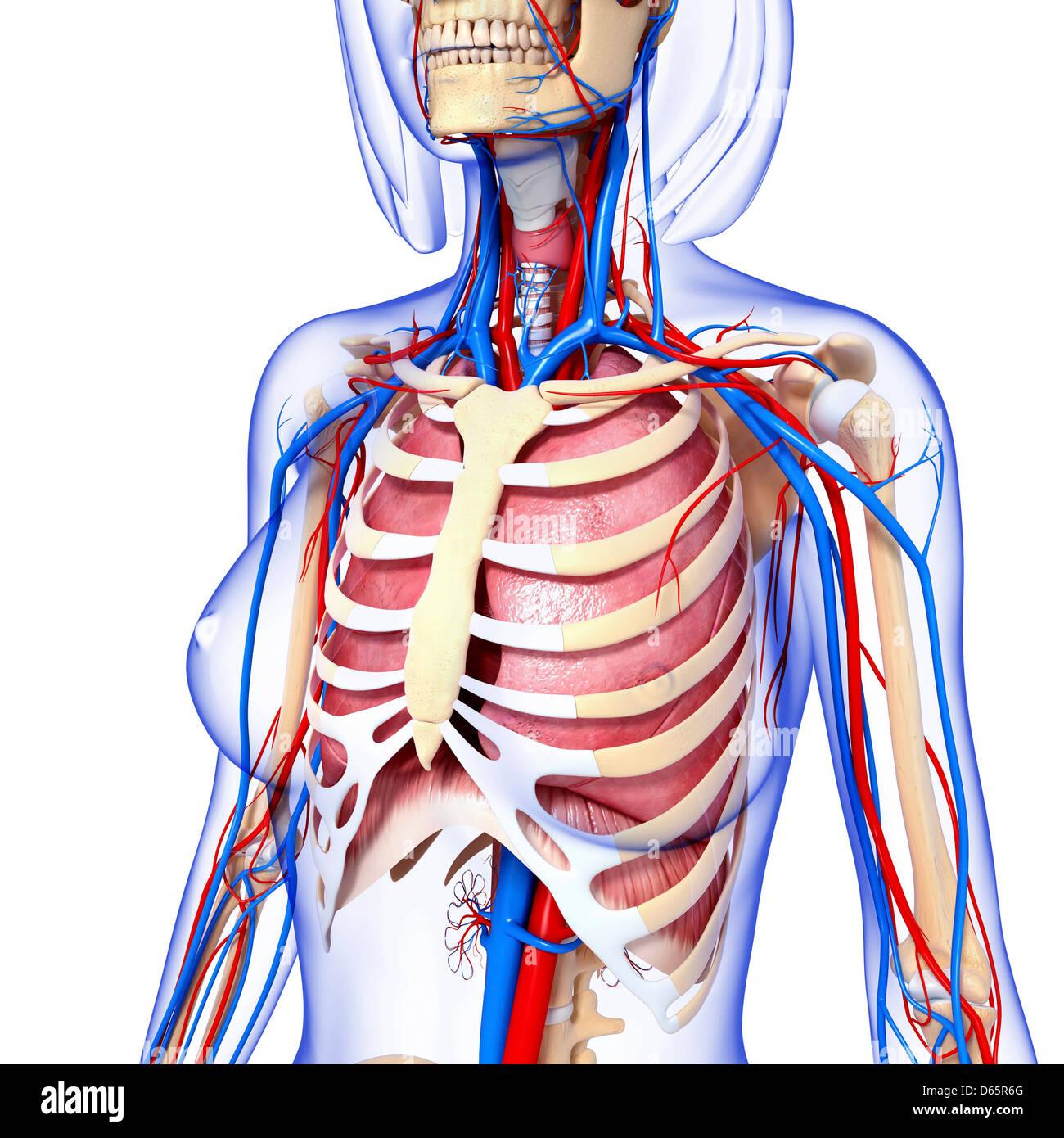 Ziemlich Weibliche Anatomie Des Menschen Organe Diagramm Bilder ...