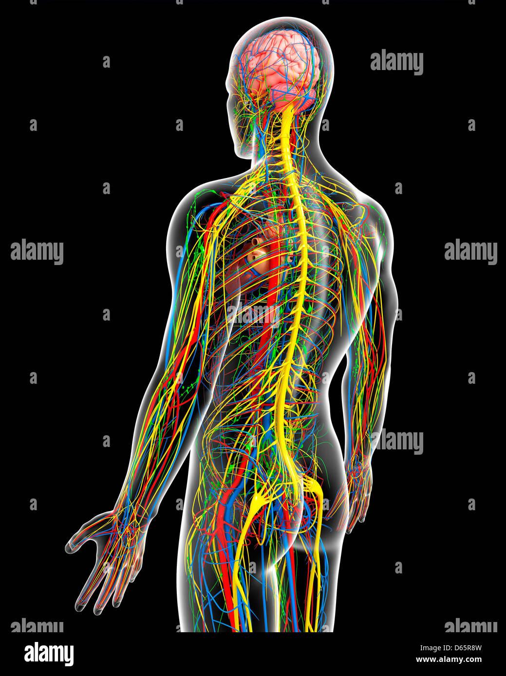 Ausgezeichnet Regel Neunen Für Anatomie Körperregionen Galerie ...