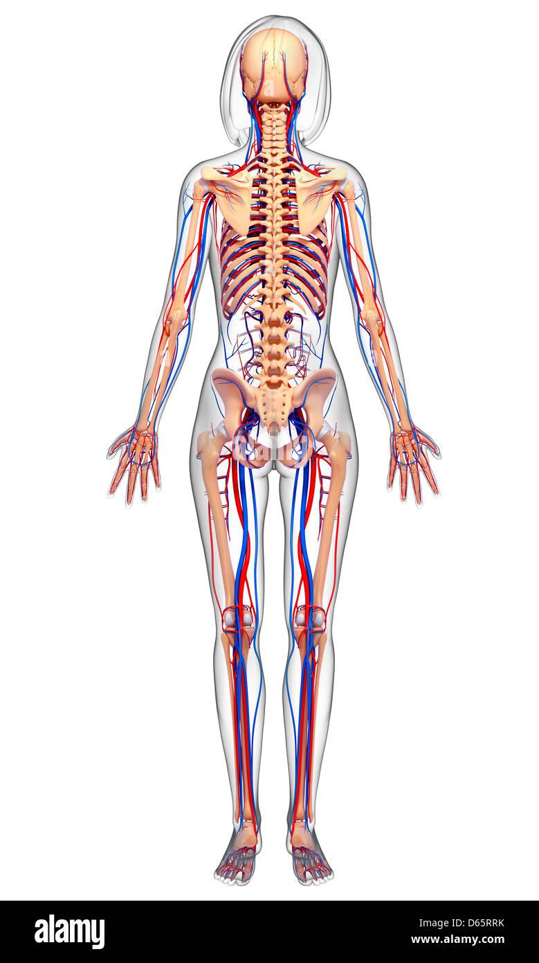 Fantastisch Menschliche Weibliche Anatomie Zeitgenössisch ...