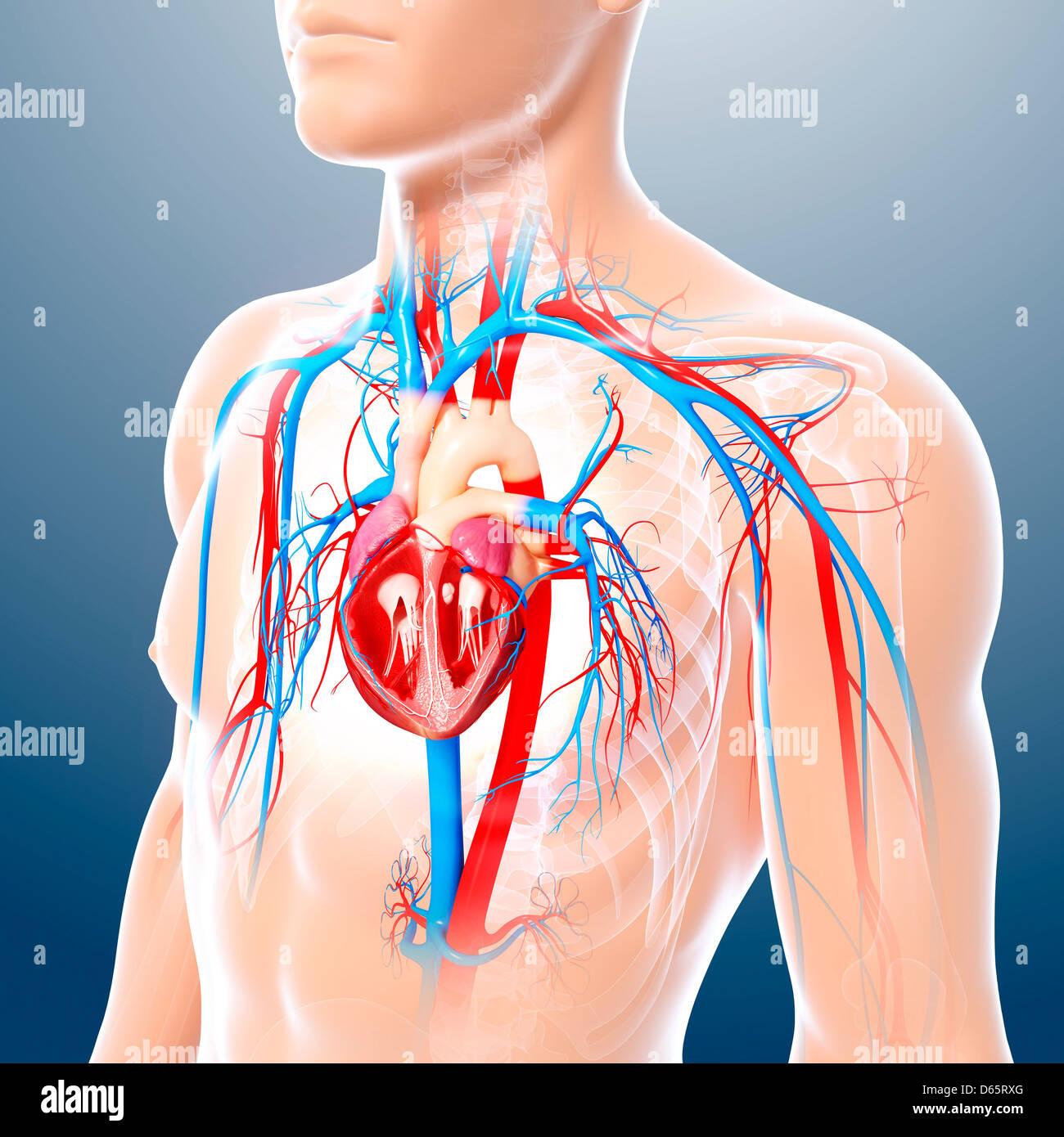 Male Chest Anatomy Heart Veins Stockfotos Male Chest Anatomy Heart