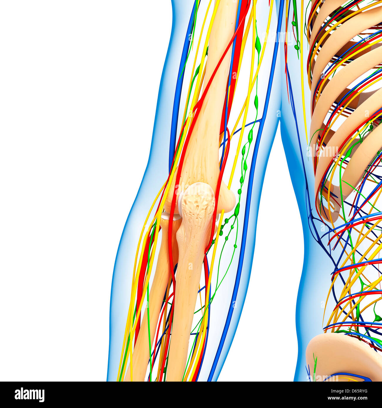 Ellenbogen Anatomie, Kunstwerk Stockfoto, Bild: 55447604 - Alamy
